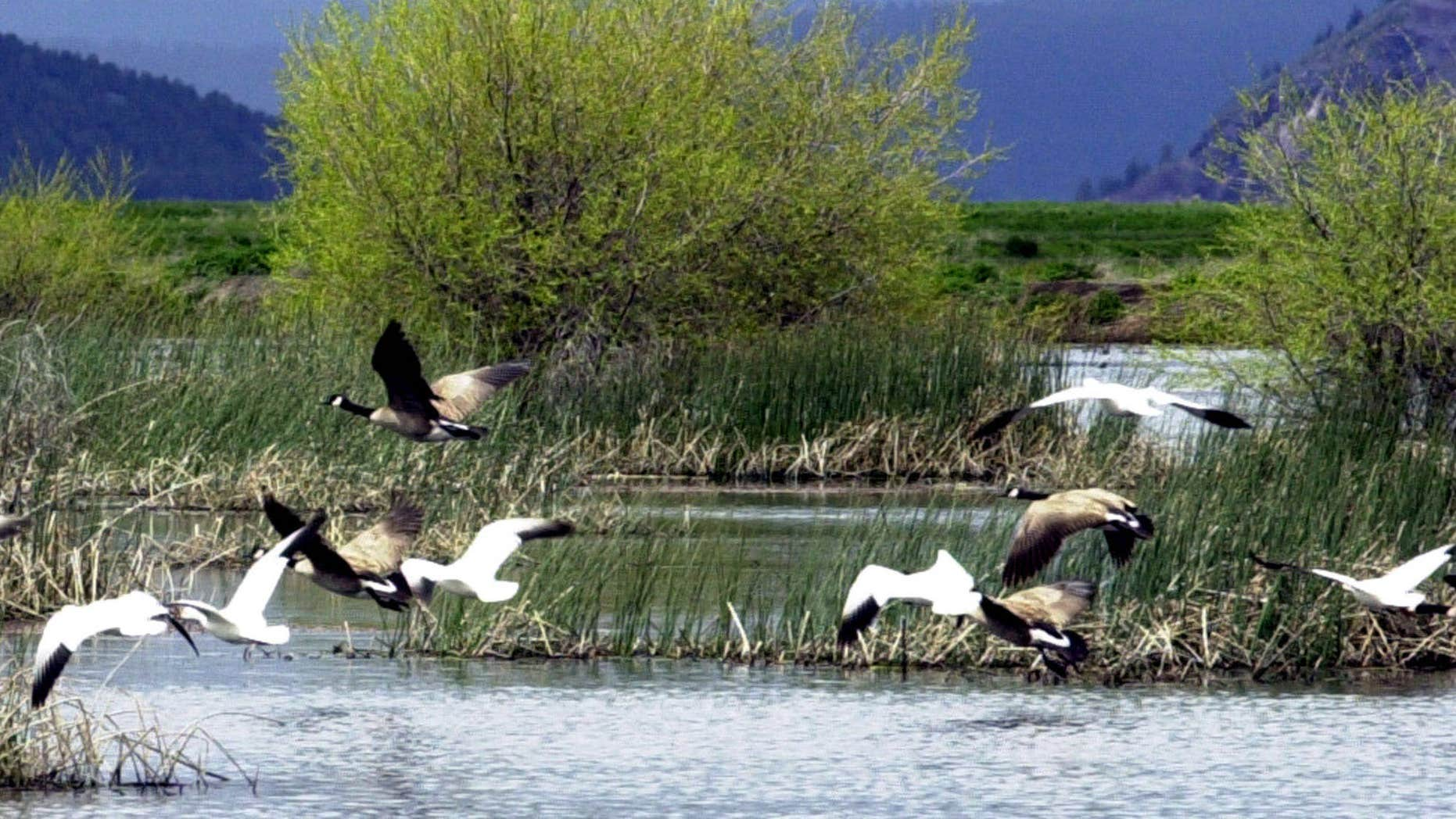 May 9, 2005: Snow geese and Canada geese preparing to land on marsh at the Lower Klamath National Wildlife Refuge near Merrill, Ore.