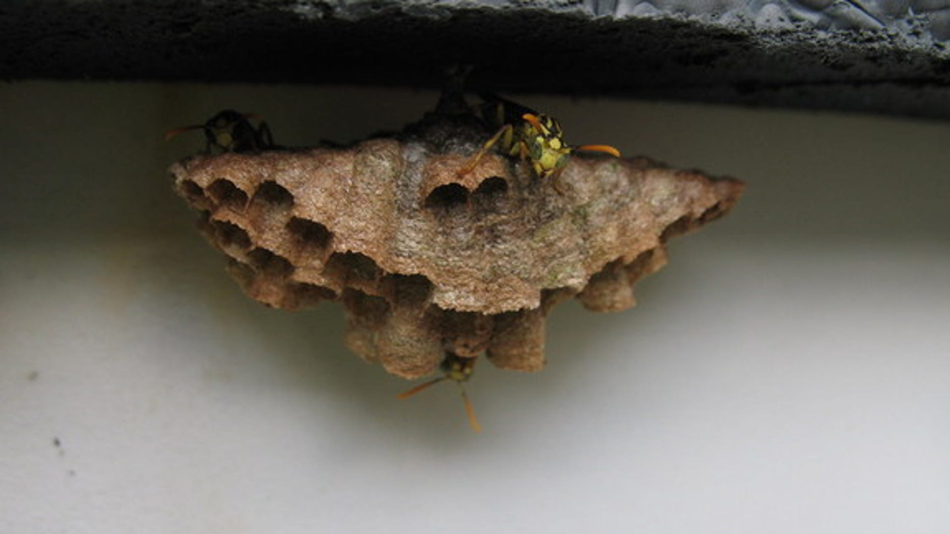 A small nest built by wasps (<i>Mischocyttarus mexicanum</i>) in Costa Rica. These wasps have small colonies, and may be a transition species between solitary and social wasps, researchers said.