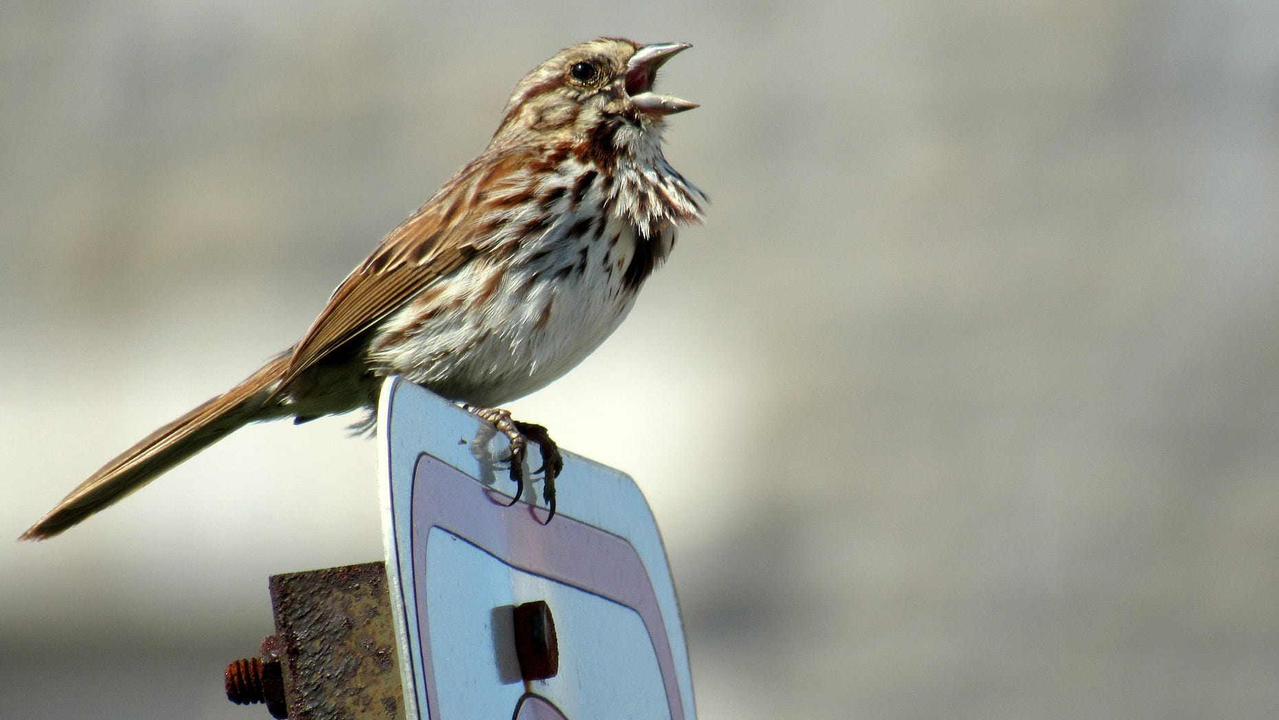 A male song sparrow sings on the Virginia Tech campus.