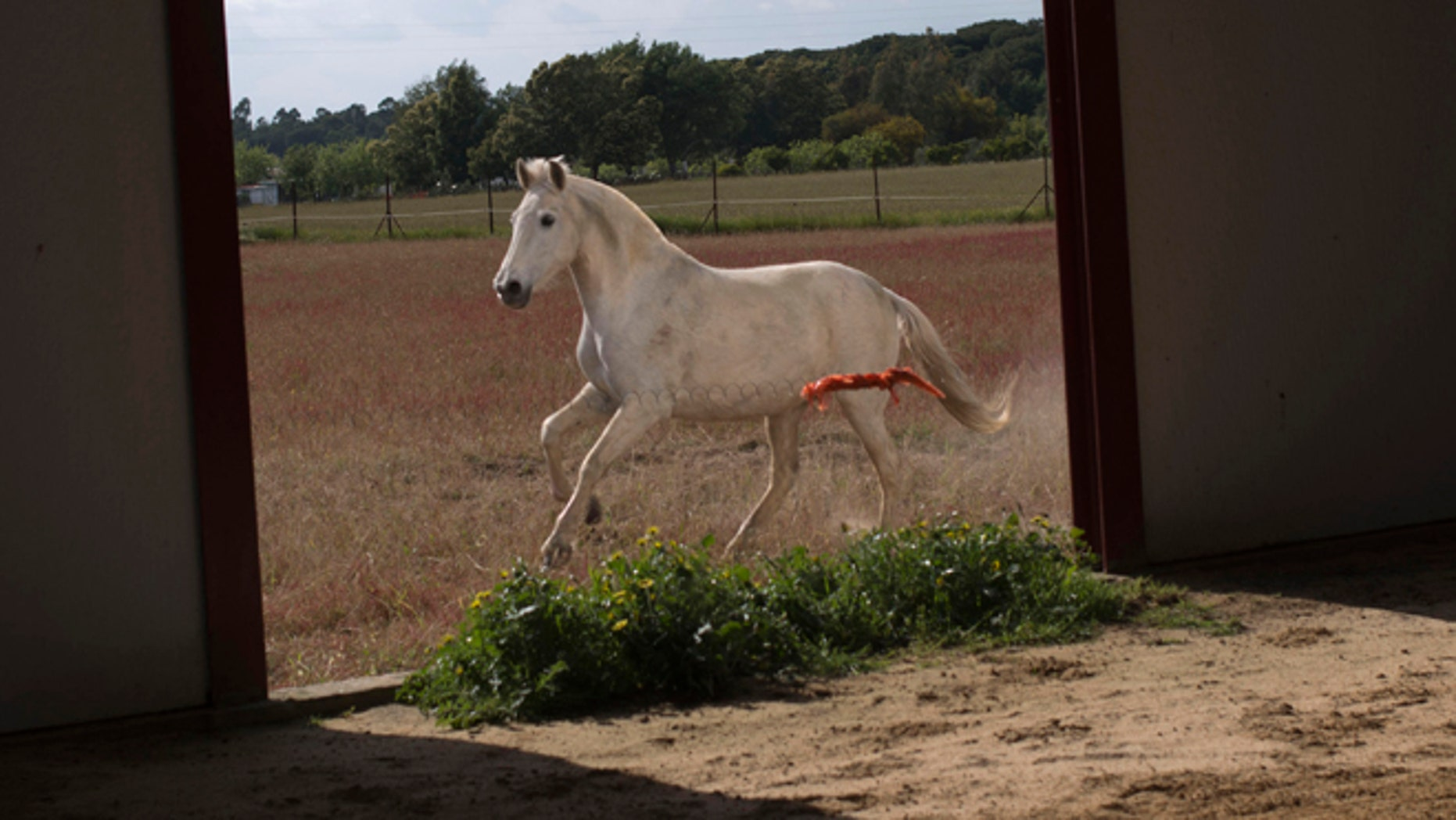 "April. 8, 2013: In this file photo, a ""Pura Raza Espanola"" or Pure Spanish Breed mare belonging to breeder Francisco Jose Rodriguez runs next to the stable at ""La Yeguada de Cuatro Vientos"" ranch in Almonte, in the southern Spanish region of Andalusia. Barring an unlikely reprieve, Rodriguez's purebreds will be turned into horse meat for export come in the next coming months. They are victims of a wrenching economic downturn that has wiped out fortunes, turned housing developments into ghost towns and left more than a quarter of the population out of work."