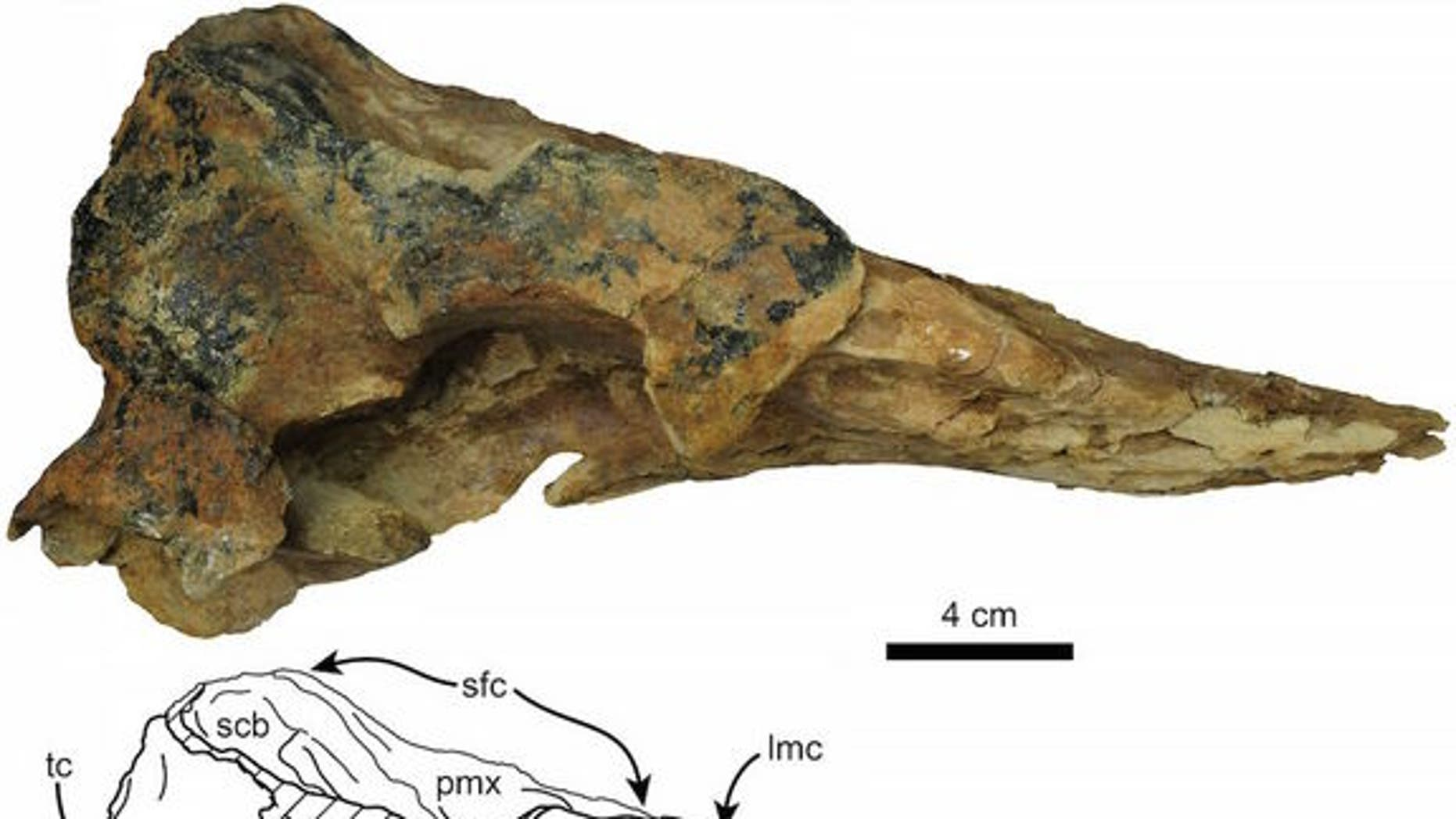 The skull of the newly discovered species of pygmy sperm whale, found in Panama.