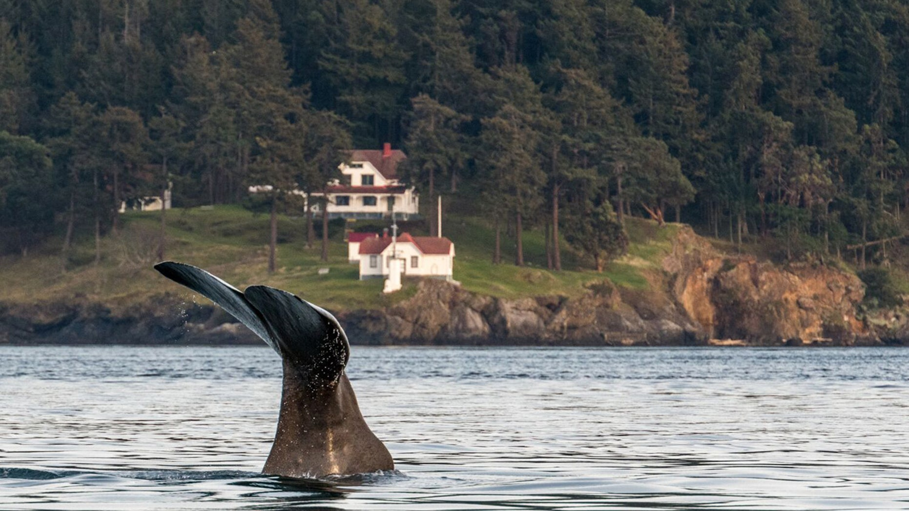A sperm whale was spotted Saturday for the first time in the inland waters near the San Juan Islands in Washington state.