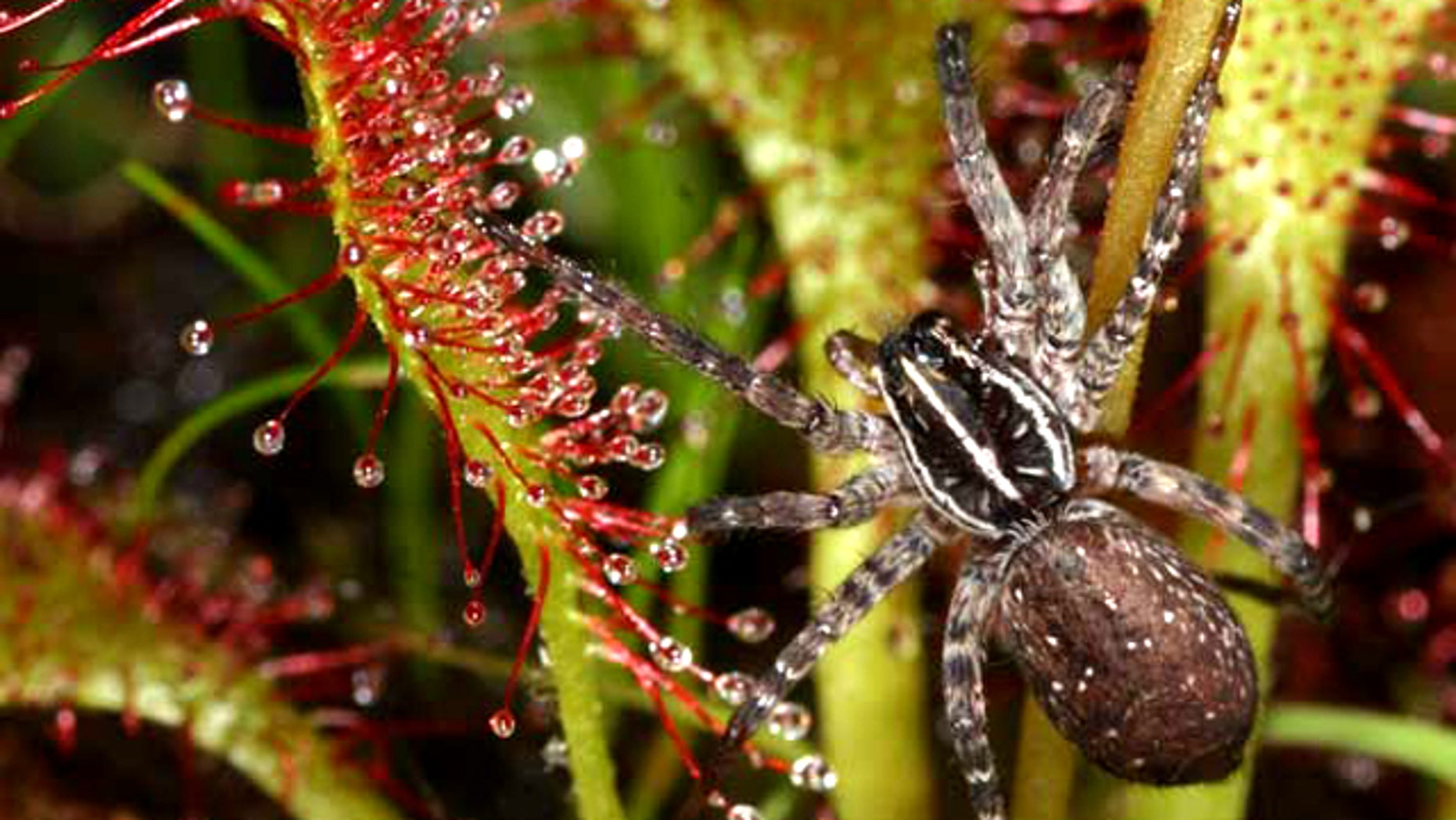 The carnivorous sundew and the wolf spider eat the same prey in the wild.