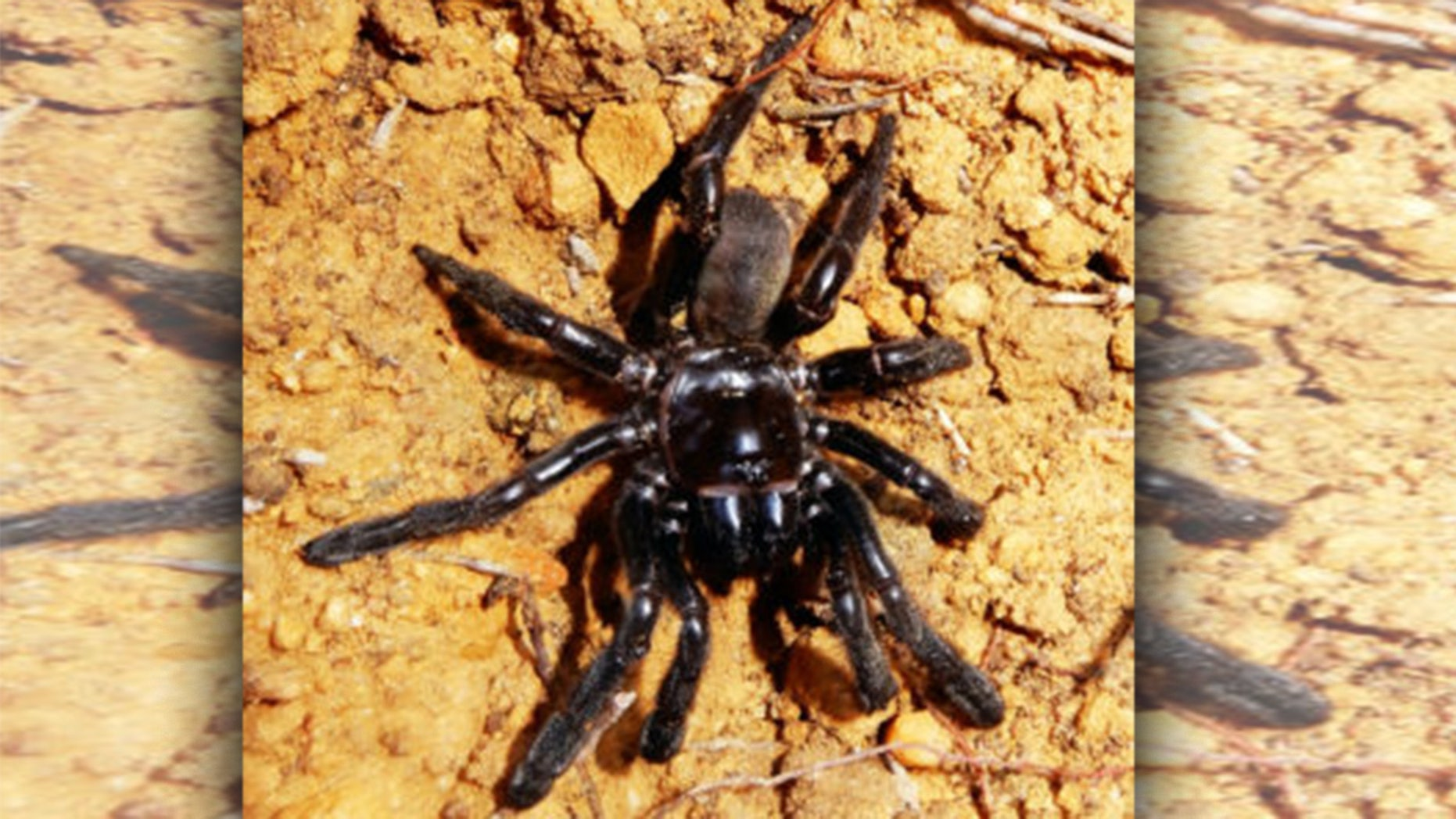 Researchers said Number 16, a Giaus Villosus trapdoor spider was the world's oldest spider when she died at 43.