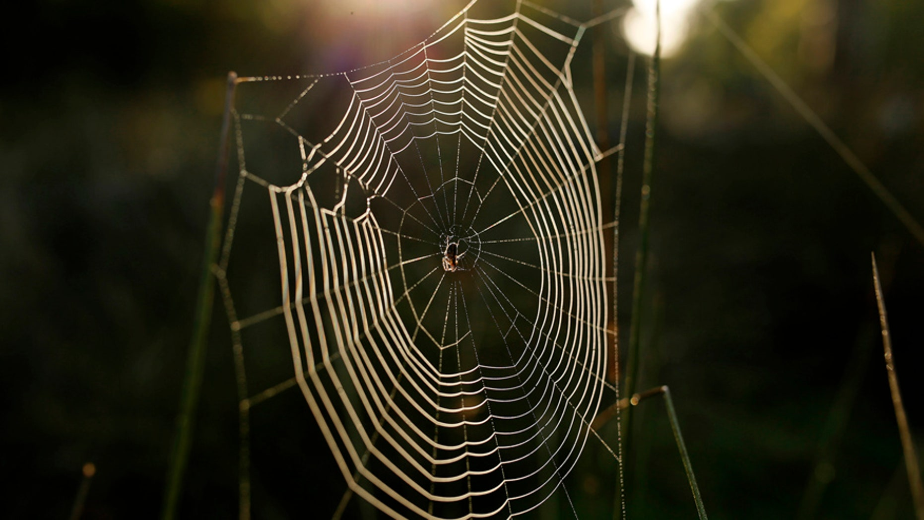 File photo. A spider's web glistens in the morning sun in Dunham Massey country park near Manchester in northern England.