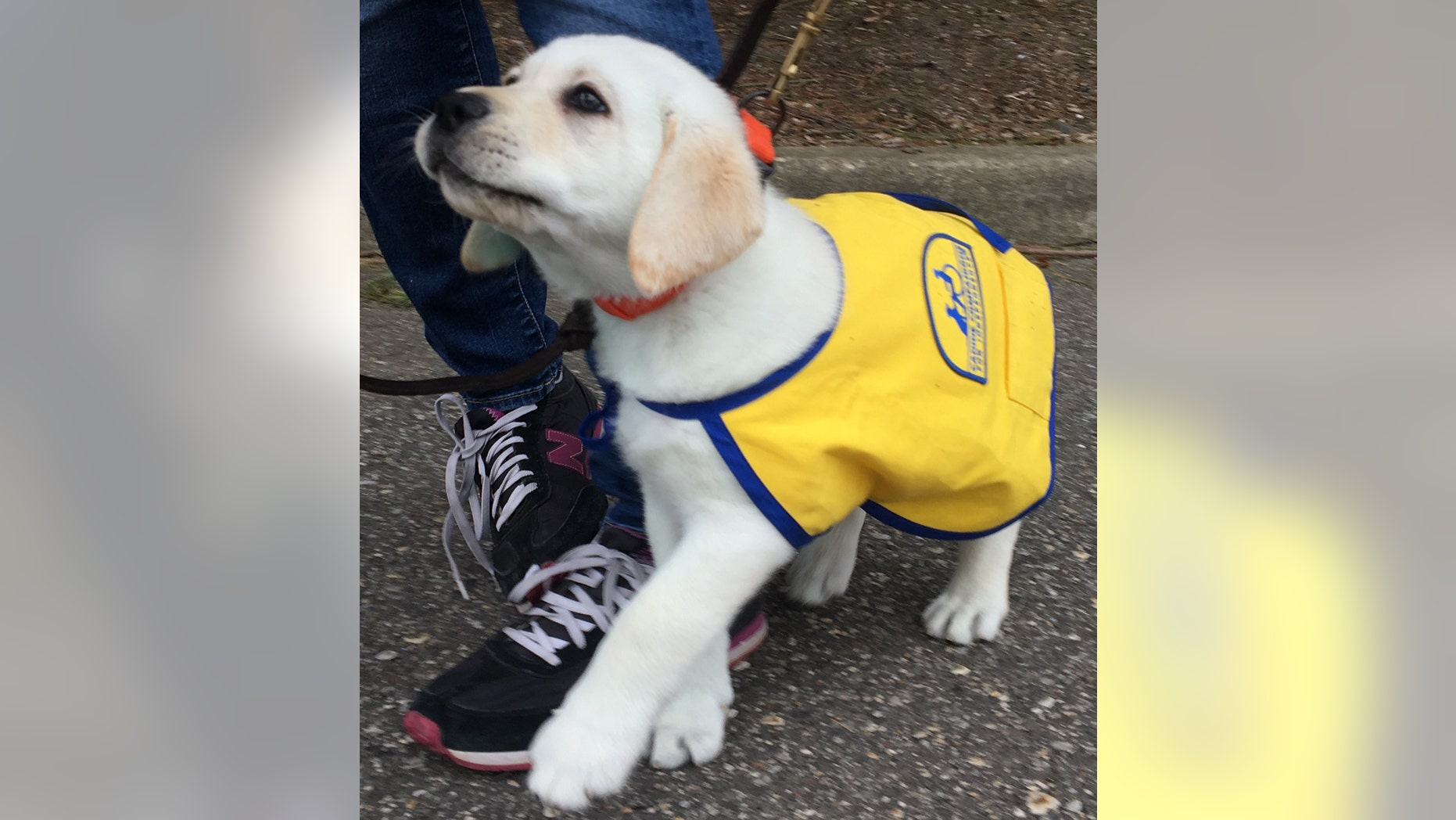 Spike, who Williams is raising in honor of her late brother Kyle, is being trained to aid persons with disabilities.