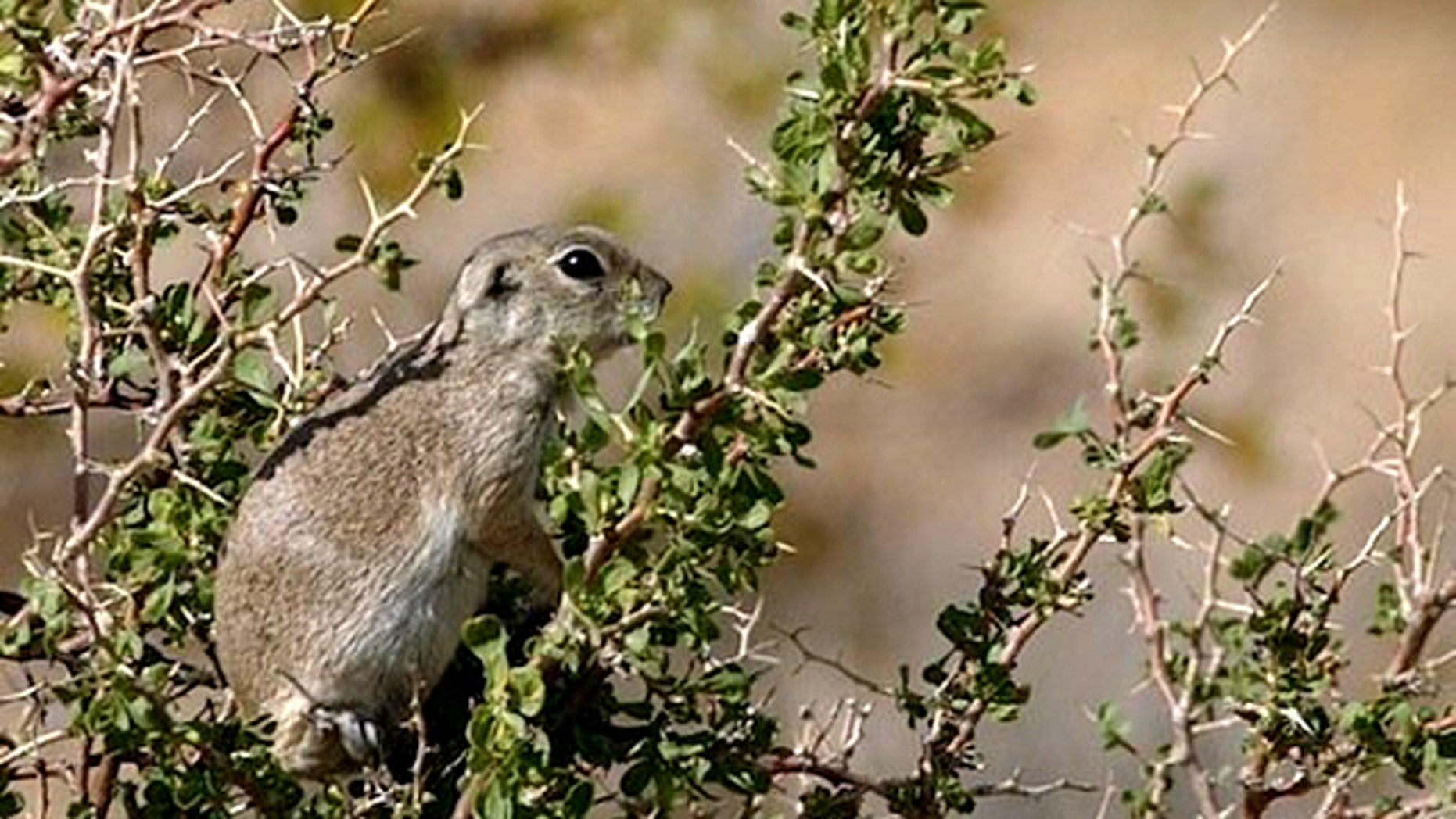 Mojave Ground Squirrel