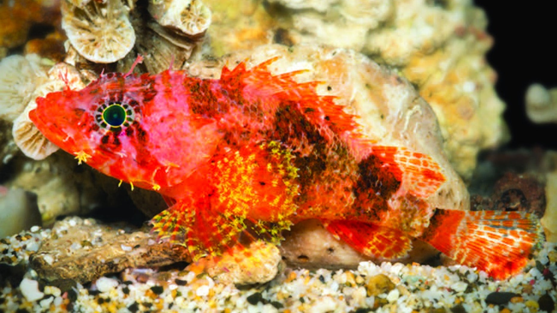 A new species of scorpionfish, <em>Scorpaenodes barrybrowni</em>, discovered in the deep reefs of the Caribbean. This scorpionfish is distinguished from its relatives by the elongated rays on its fins and by i
