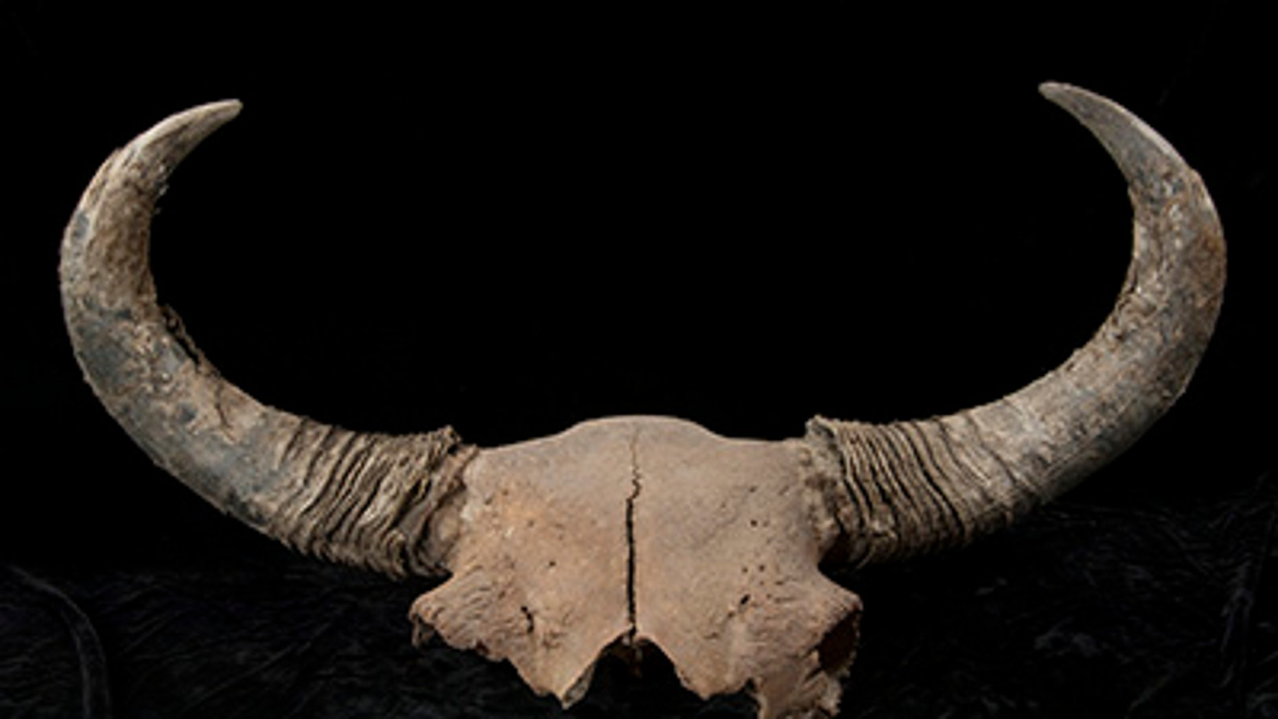 Large fossil steppe bison skull with both horn cores recovered at Quartz Creek