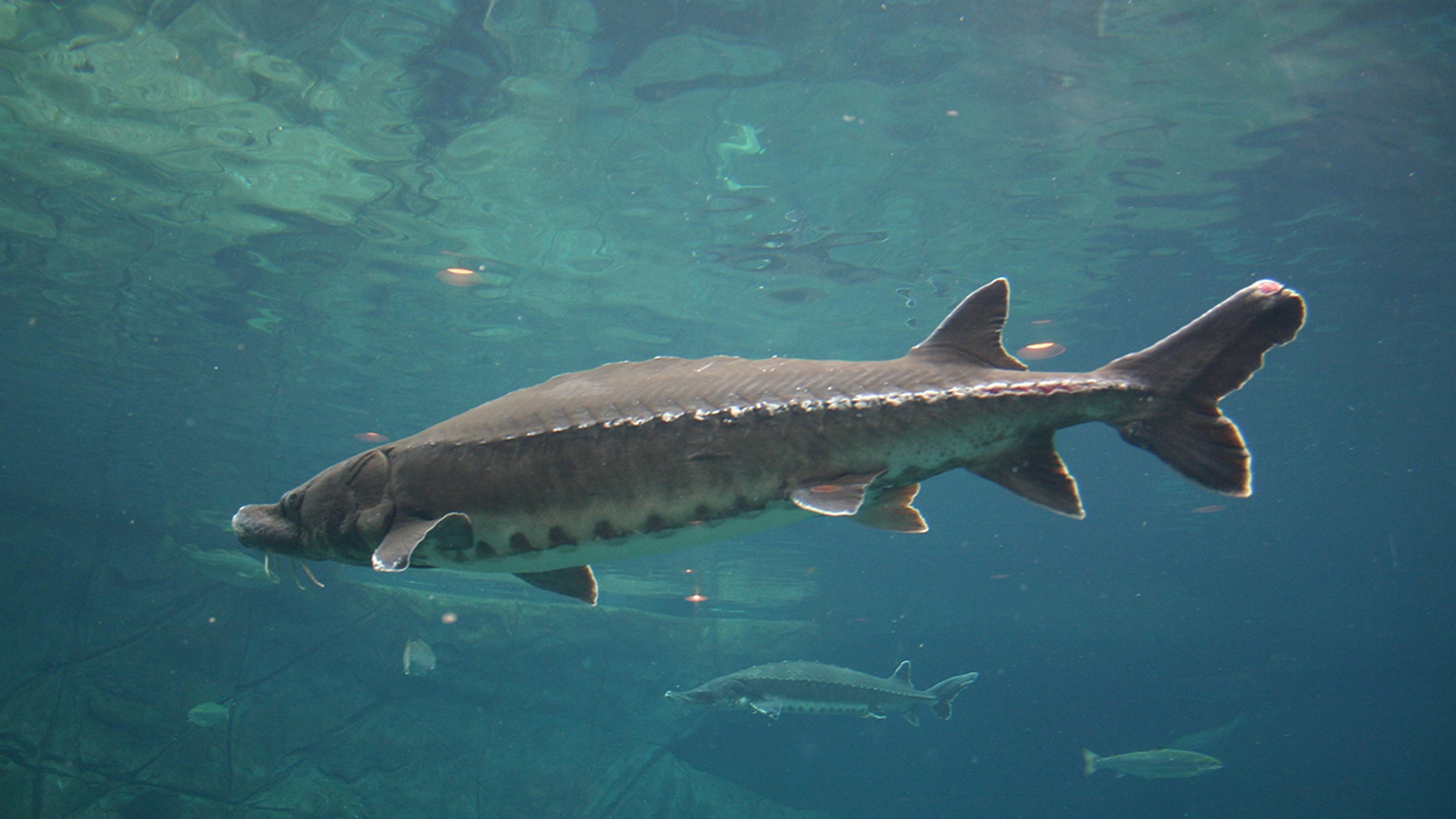 Sturgeon (pictured above) are mammoth in size and have a very long life span.