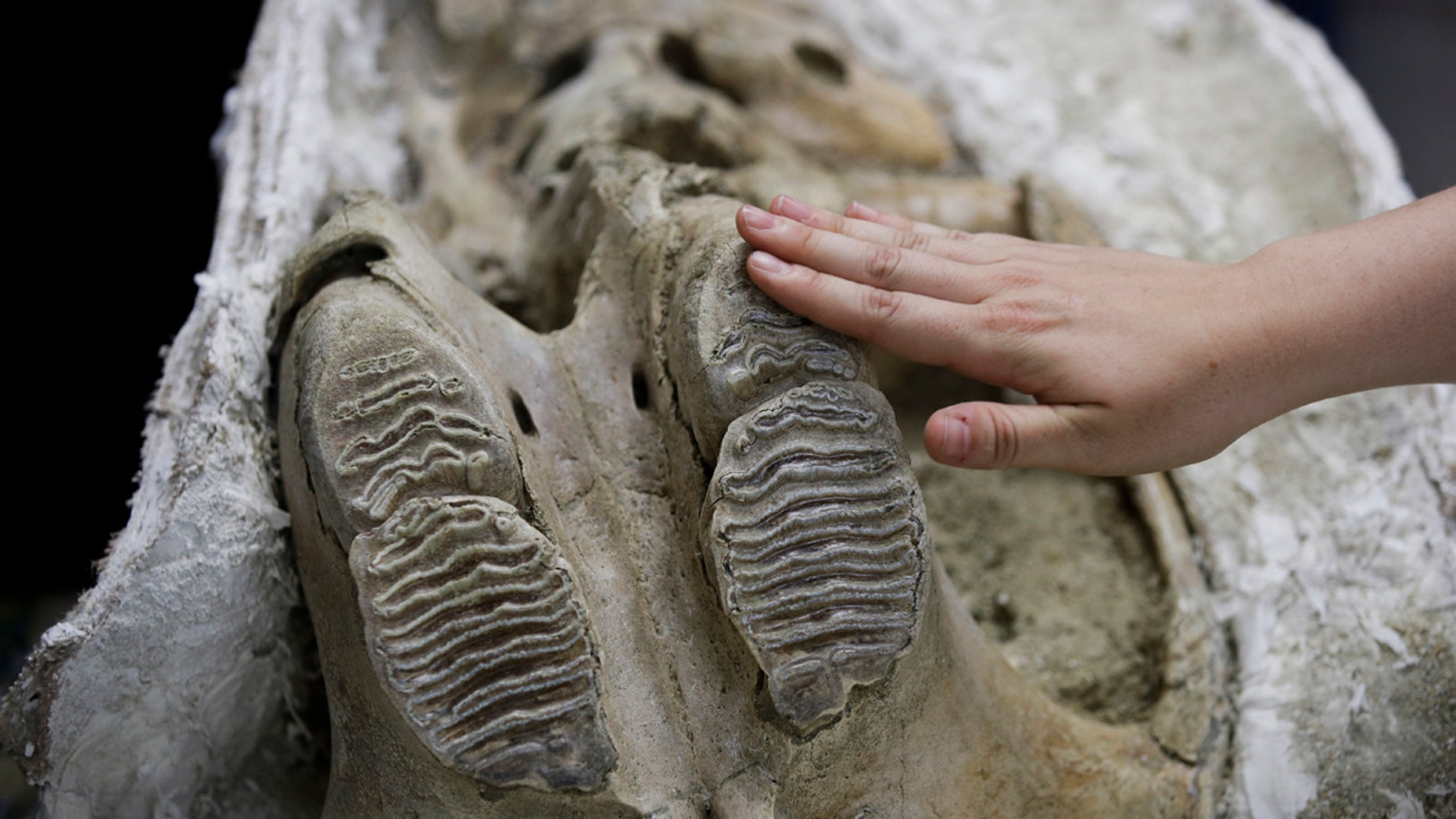 Paleontologist Ashley Leger shows the skull of a young Columbian mammoth found at the construction site of the Metro Purple Line extension in Los Angeles.