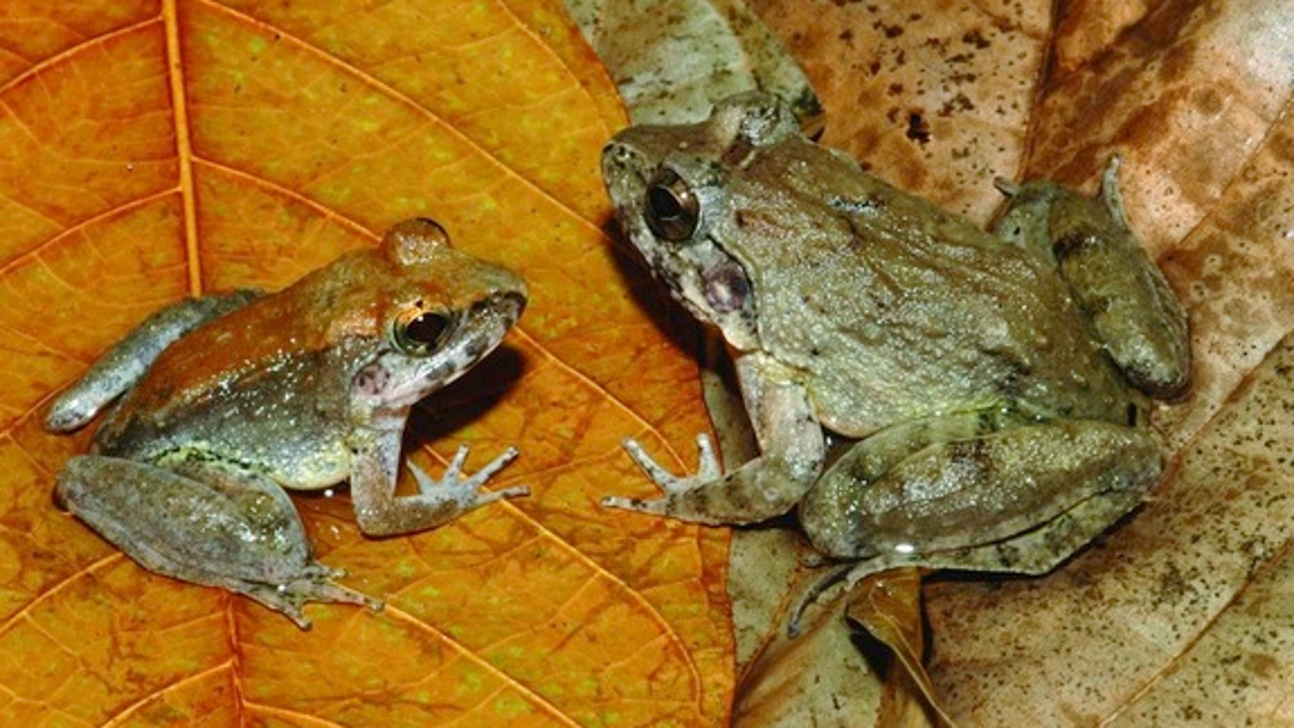 Freaky find: Herpetologist Jim McGuire was in for a surprise when he picked up one of these Indonesian fanged frogs and found it had just given birth to a handful of live tadpoles.