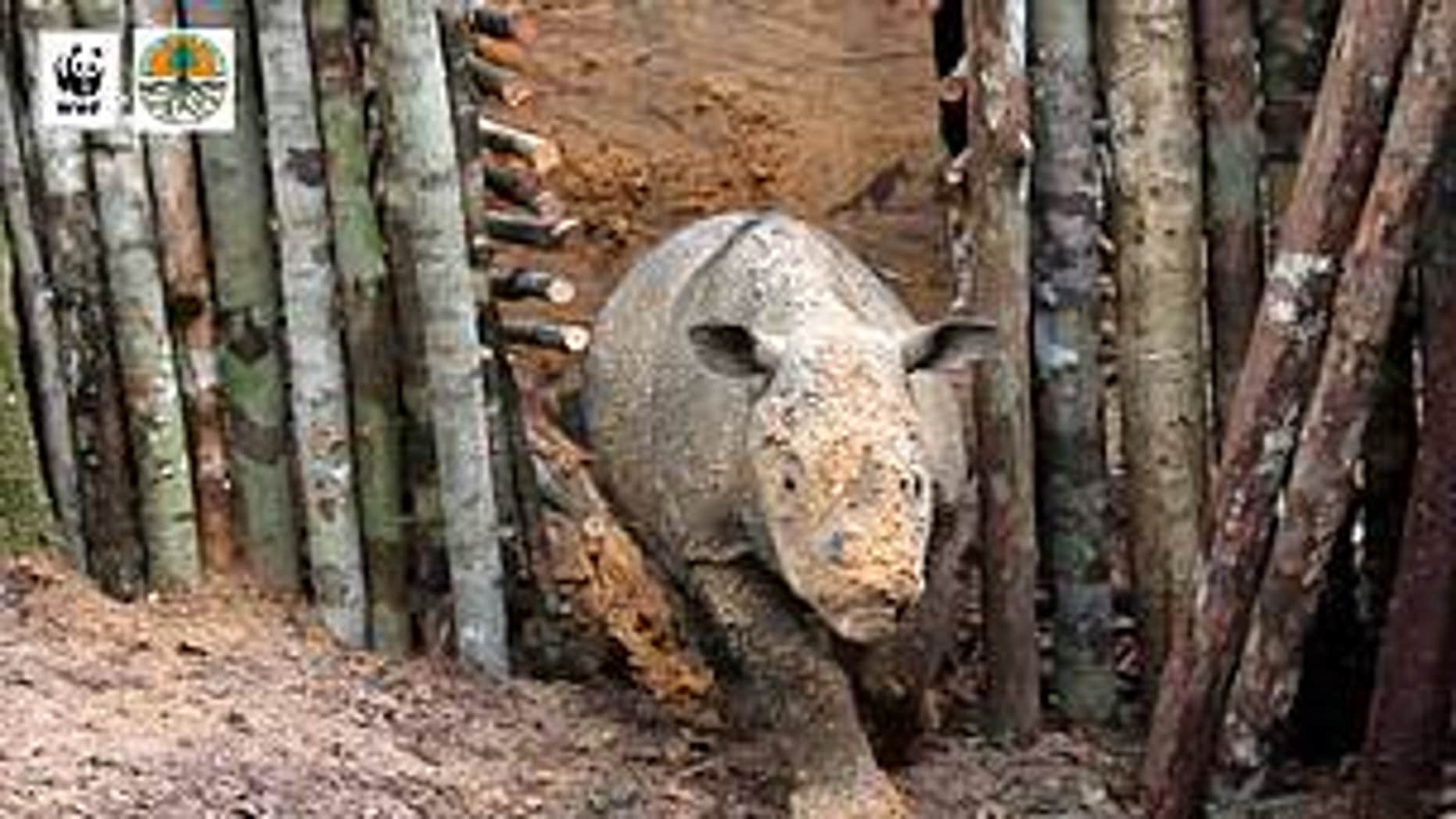 The rare Sumatran rhino (Ari Wibowo / WWF-Indonesia)