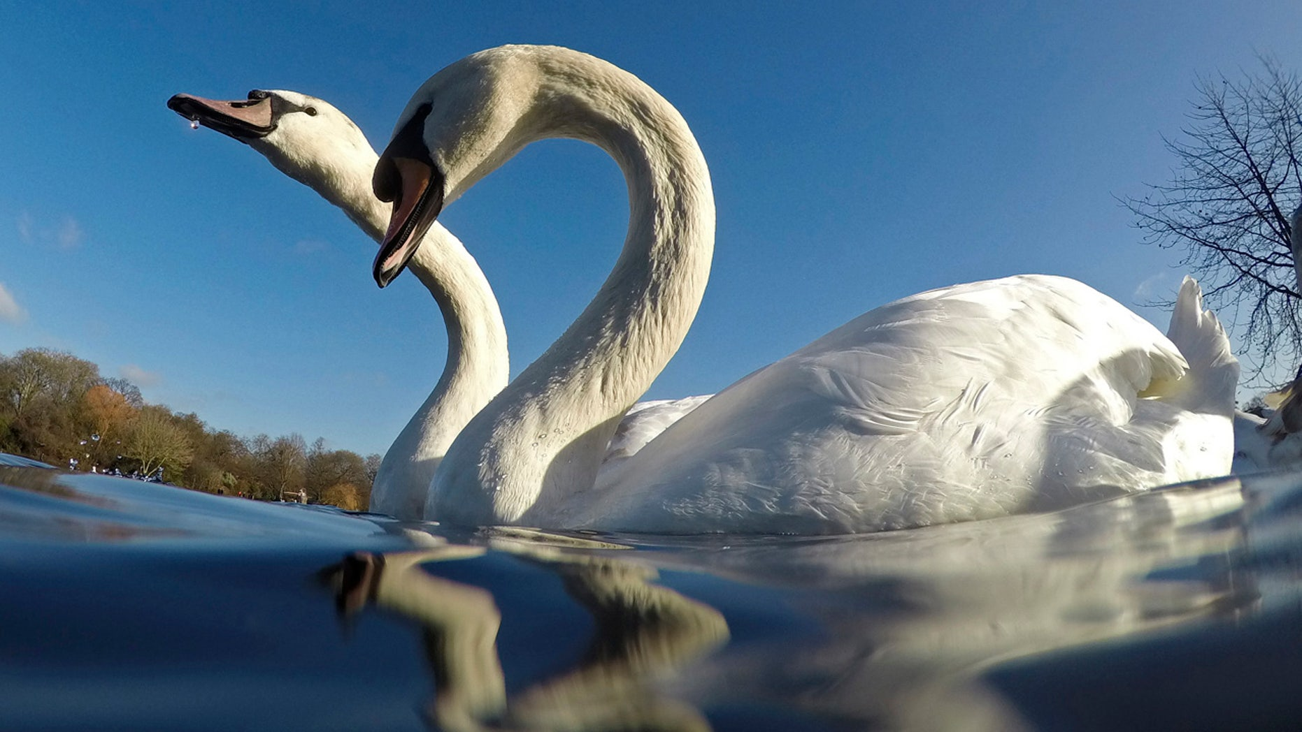 Swans swim in Hyde Park in central London. Someone has been stabbing and beheading swans in the southwest part of the city.