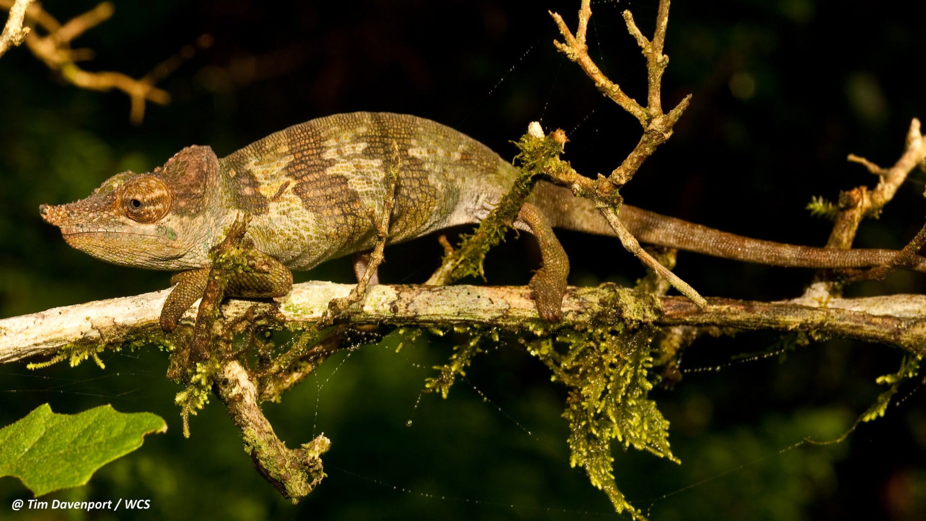 A new species of chameleon, named Kinyongia msuyae, has been discovered in Tanzania. (Tim Davenport/WCS)