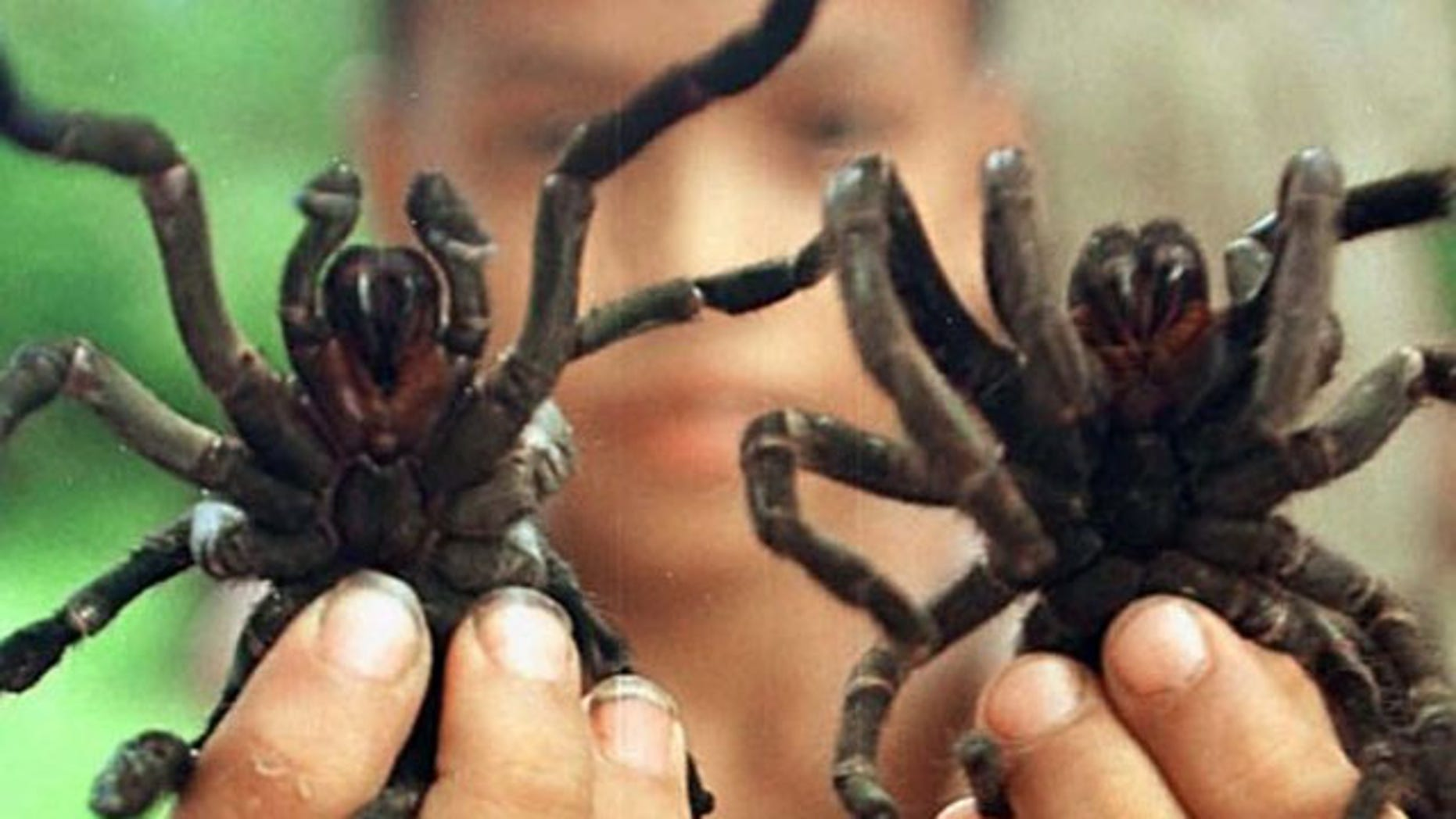 A Cambodian boy displays two live tarantulas, a national delicacy.