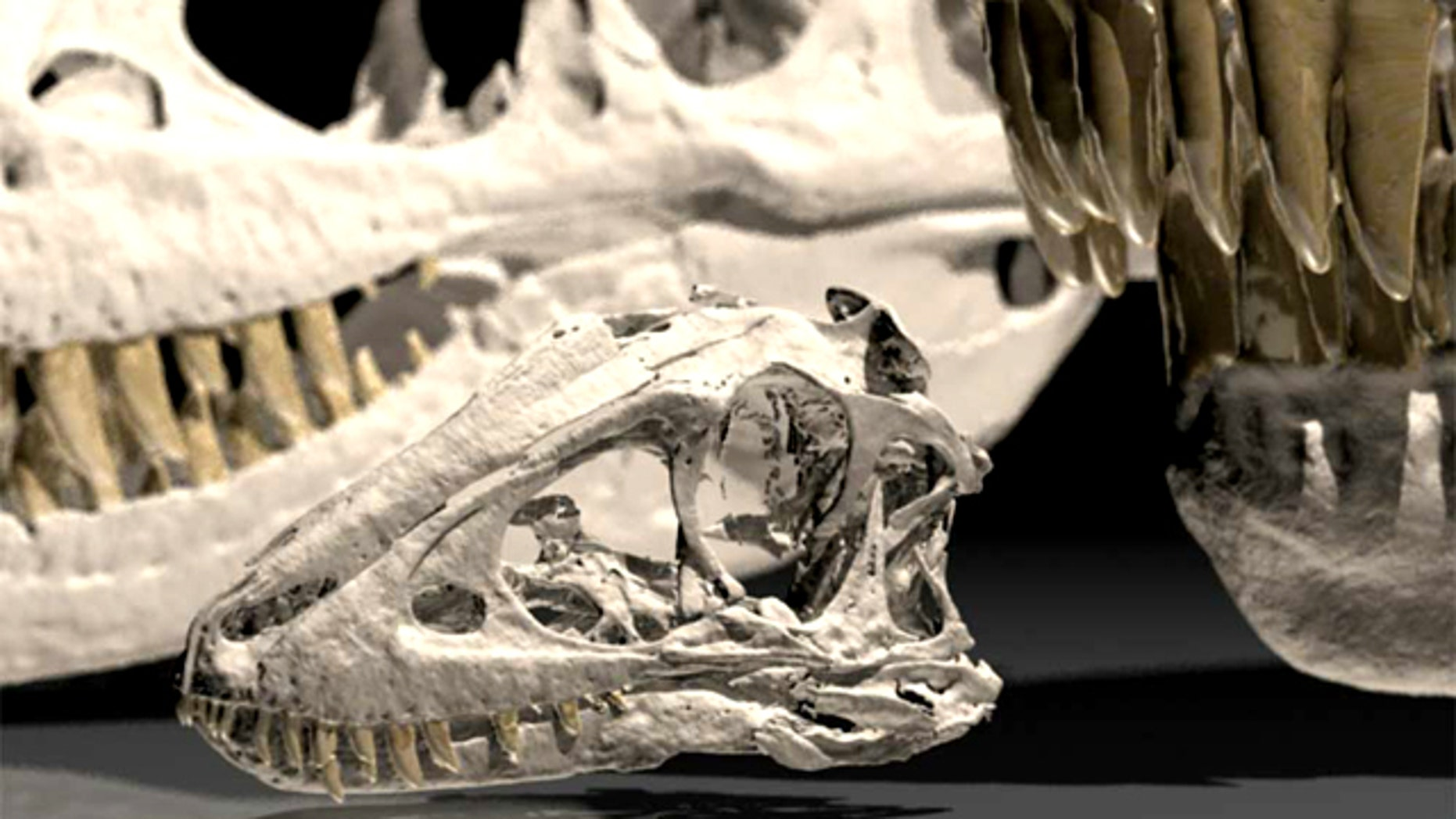 Skull of a 2-year-old juvenile Tarbosaurus, a Cretaceous tyrannosaur from Mongolia, with an adult skull at right and a teenage skull behind for comparison.