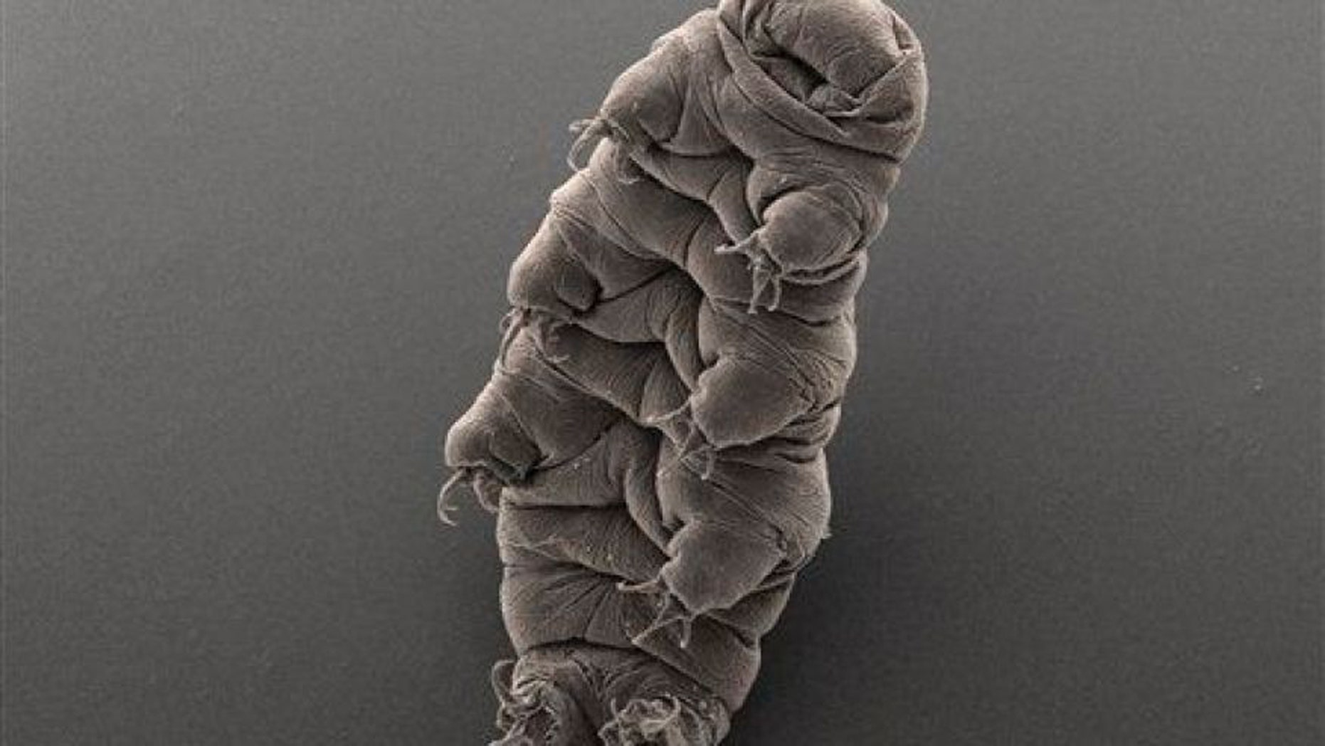 A tardigrade.  (AP Photo/Bob Goldstein & Vicki Madden, UNC Chapel Hill)