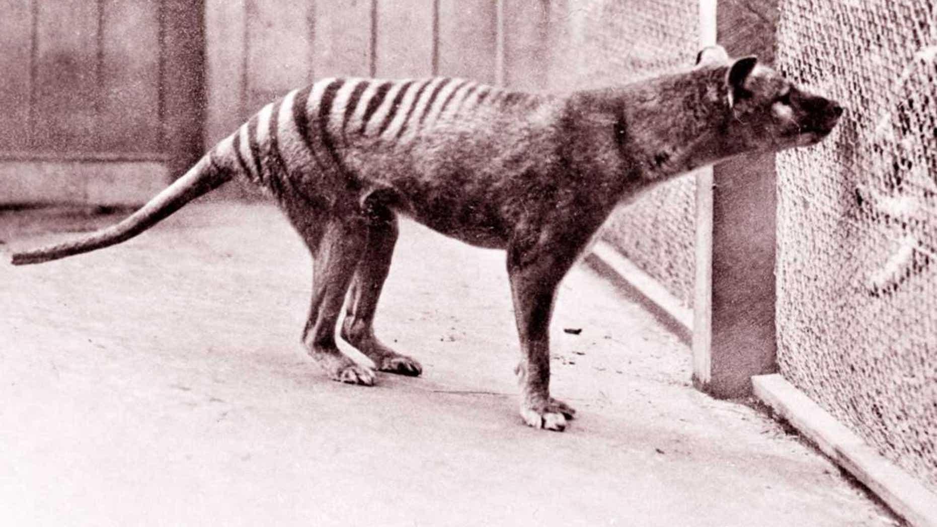 Benjamin, the last Tasmanian tiger in captivity, died in September 1936. (Credit: Getty Images)