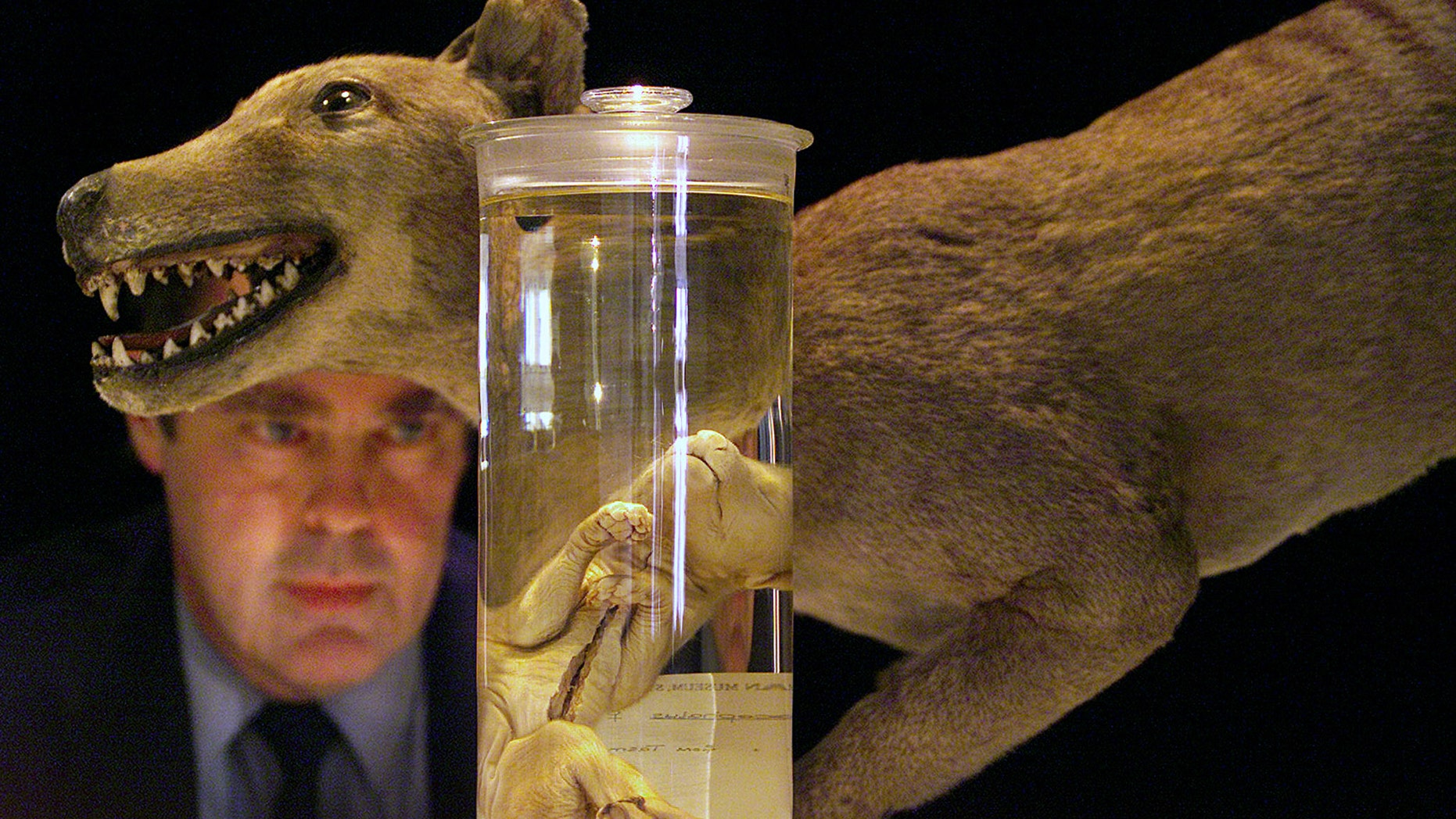 File photo - Don Colgan, Head of the Evolutionary Biology Unit at the Australian Museum, speaks under a model of a Tasmanian Tiger at a media conference in Sydney as seen in this May 4, 2000 file photo regarding the quality DNA extracted from the heart, liver, muscle and bone marrow tissue samples of a 134 year-old Tiger specimen (R) preserved in alcohol. The last known Tasmanian Tiger died in 1936 after it was hunted down and wiped out in only 100 years of human settlement. (Reuters)