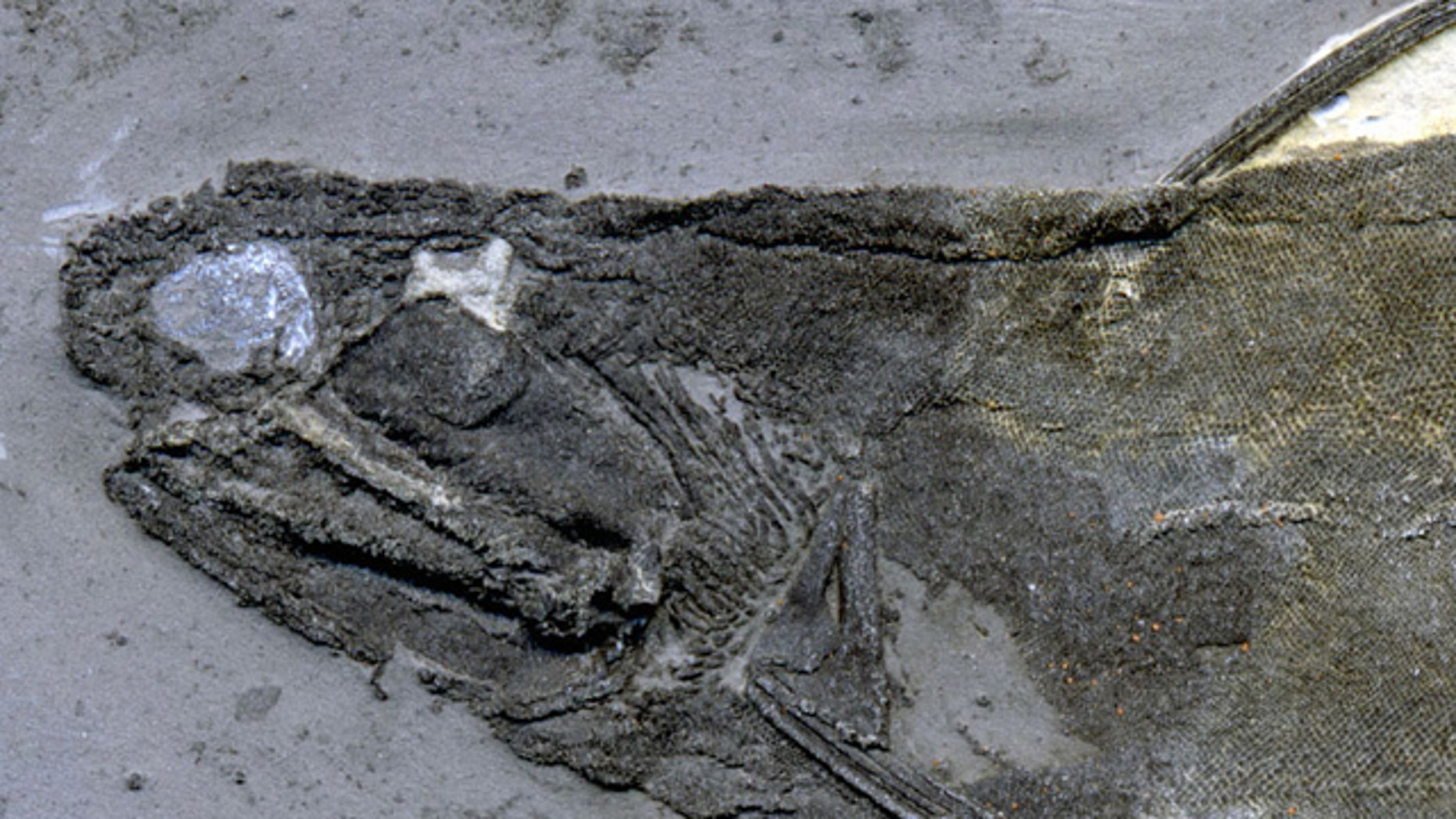 The tooth-like lip and cheek scales were found in specimens of ischnacanthid acanthodians similar to this one from the University of Alberta Laboratory for Vertebrate Paleontology.