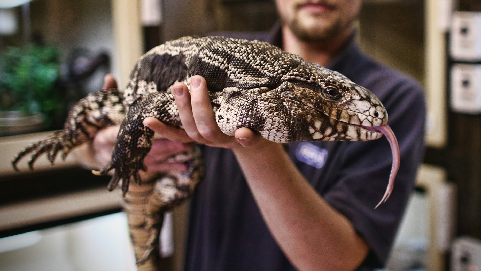 Reptile Rescue Coordinator Tom Bunsell handles an Argentine black and white tegu.