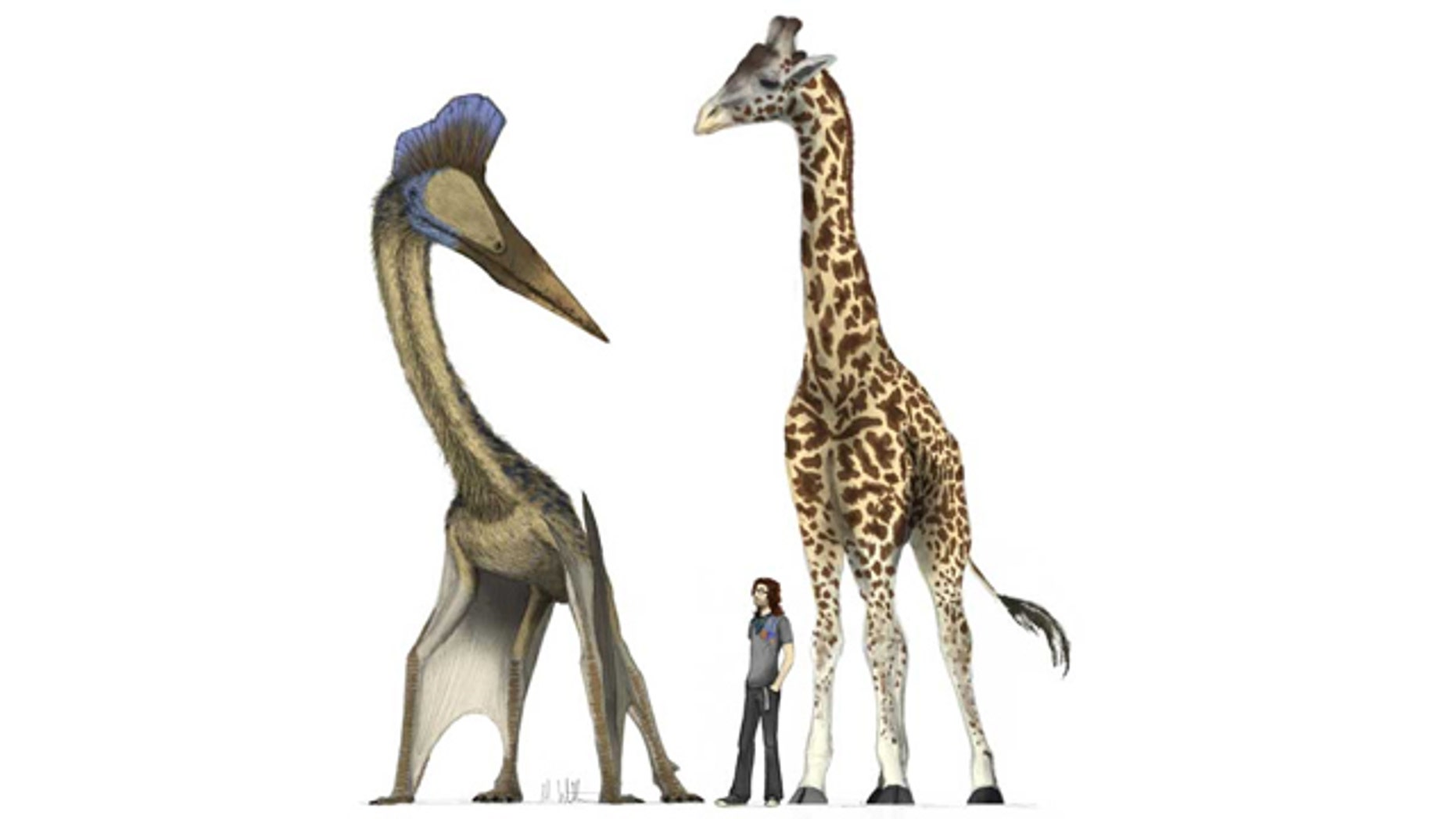 Illustration of a giant 10 meter span pterosaur alongside a record breaking 6 meter tall giraffe. The hollow, expanded skeleton of the pterosaur means that, despite its size, it is only one sixth of the giraffe's weight.