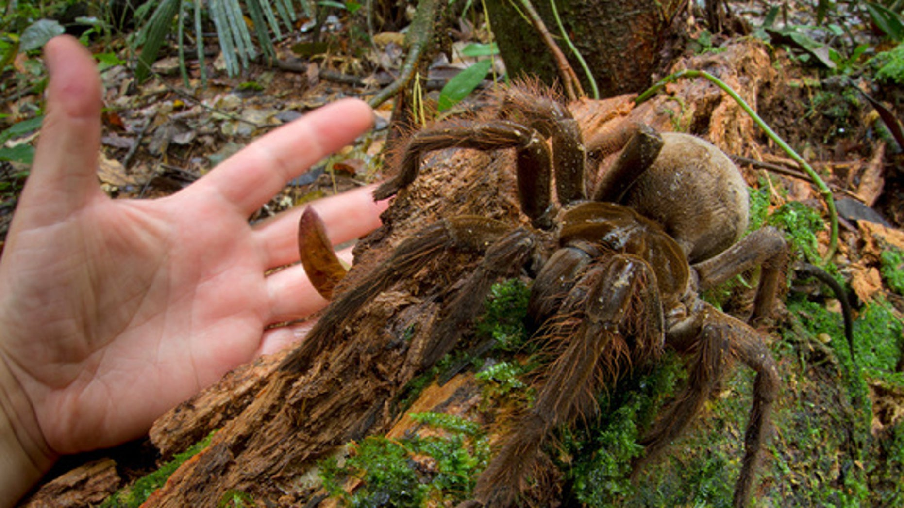 The South American Goliath birdeater (Theraphosa blondi) is the world's largest spider, according to Guinness World Records. Its legs can reach up to one foot and it can weight up to 6 oz..