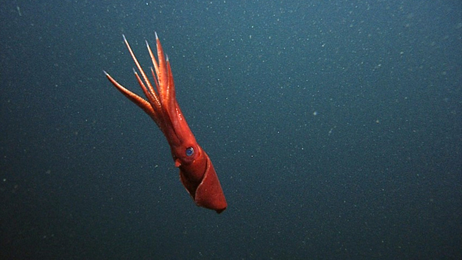 A female Octopoteuthis deletron in the water column observed by MBARI's remotely operated vehicle Ventana.