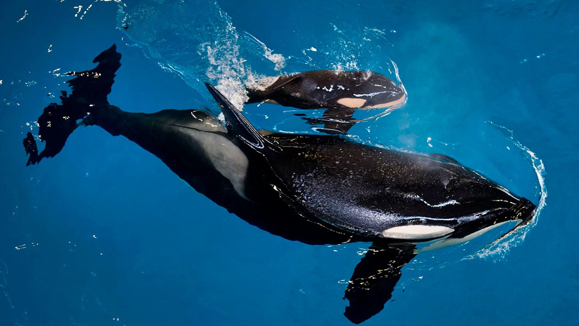FILE: Takara helps guide her newborn, Kyara, to the water's surface at SeaWorld San Antonio in San Antonio.