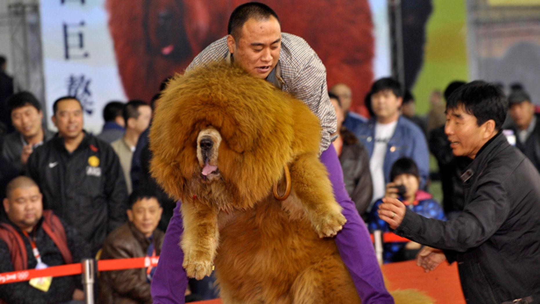 March 23, 2012: A man holds up his Tibetan mastiff as they perform on stage during a dog beauty contest at an exhibition center in Shenyang, Liaoning province.
