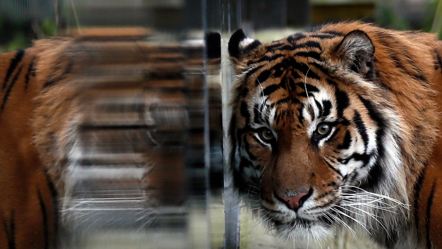 Tiger Jae Jae is reflected in glass at London Zoo in London, Britain, Jan. 3, 2017.