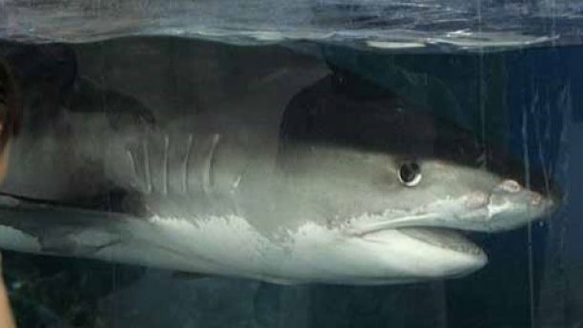 A viral image of man posing with a 16-foot tiger shark near a pier in North Carolina is fake, local media reported.