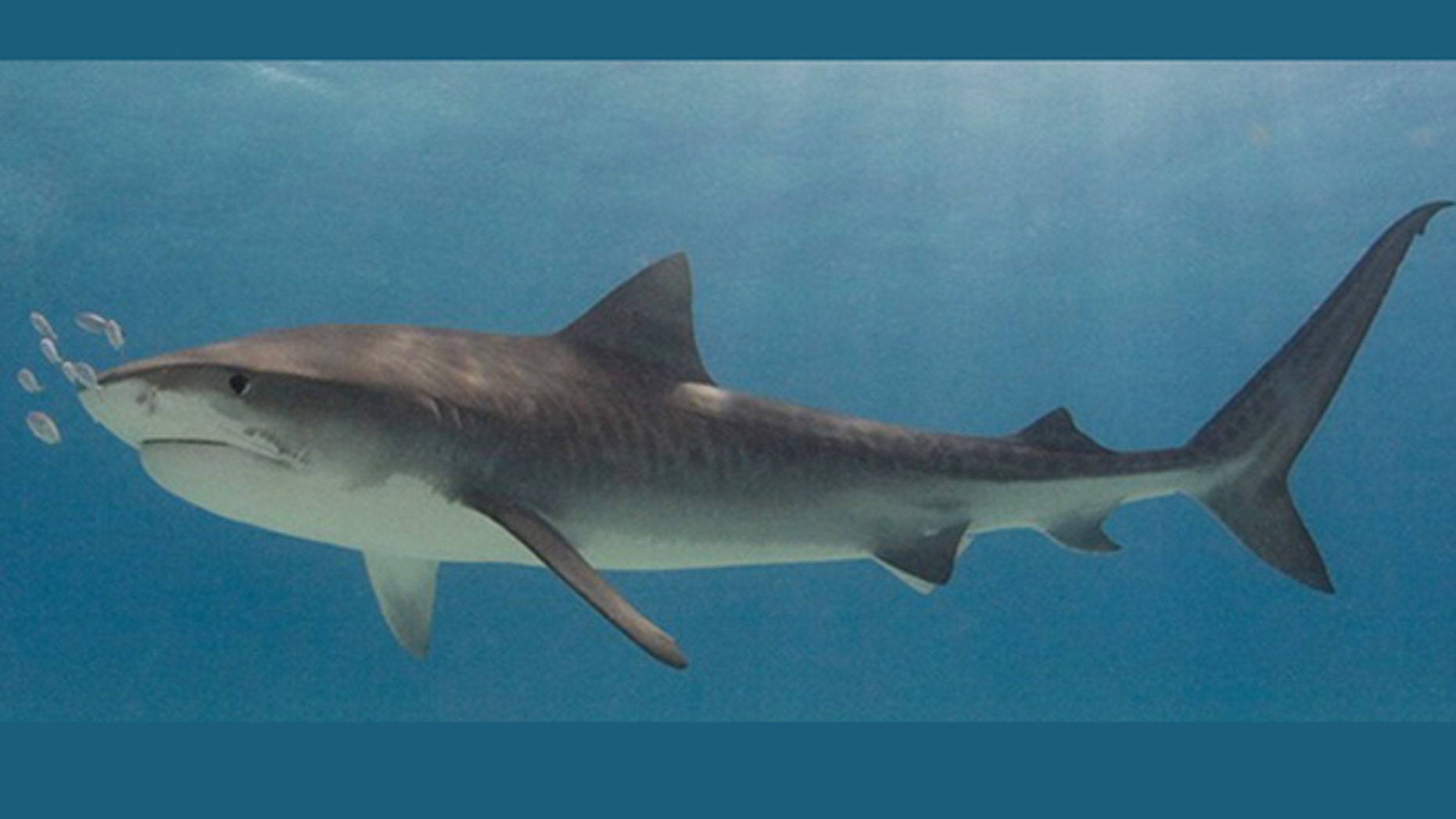 A tiger shark.