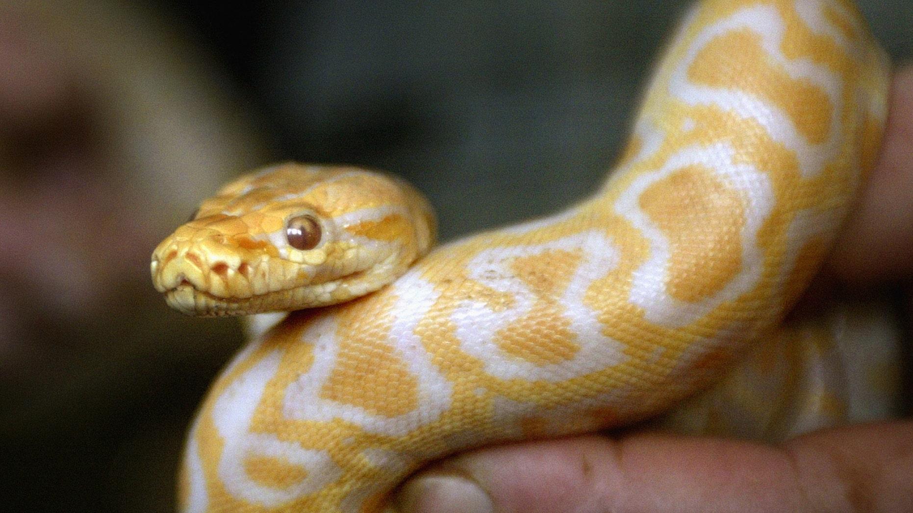 File photo: A Sofia city zoo employee shows one-metre long baby tiger python on January 26, 2004. (REUTERS/Stoyan Nenov)