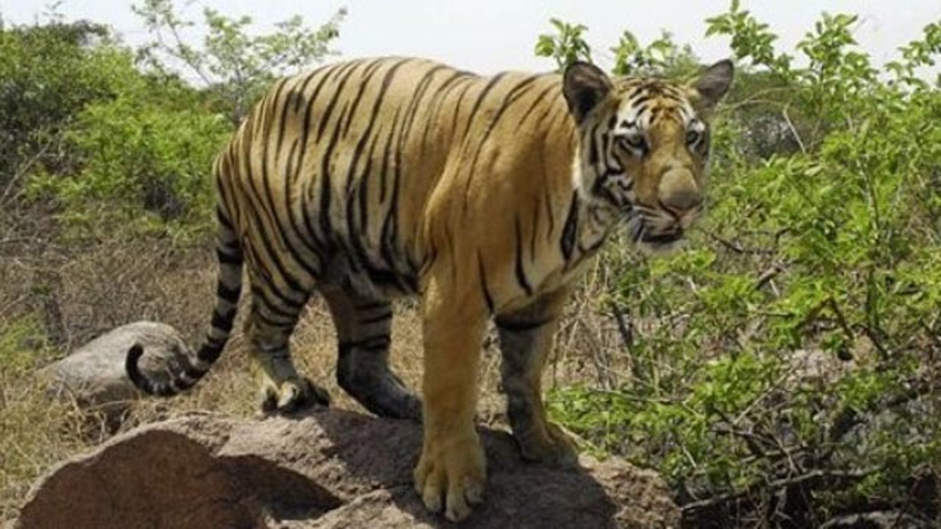 FILE: In this May 12, 2007 a one-year-old Bengal Tiger Banti looks for water at the Nehru Zoological Park in Hyderabad, India.  According to Yuri Fedotov head of the U.N. office on drugs and crime about 150 tigers -- or 5% of the world's tiger population are killed each year by poachers.