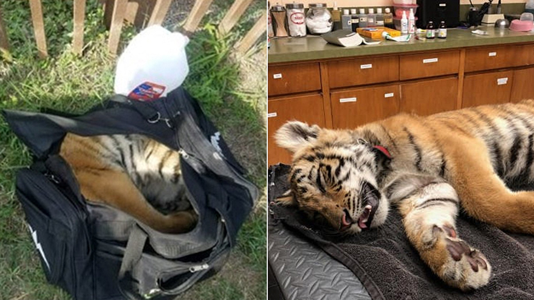 Border Patrol agents found a live tiger cub inside a duffel bag after they saw three people try to enter the U.S. illegally.