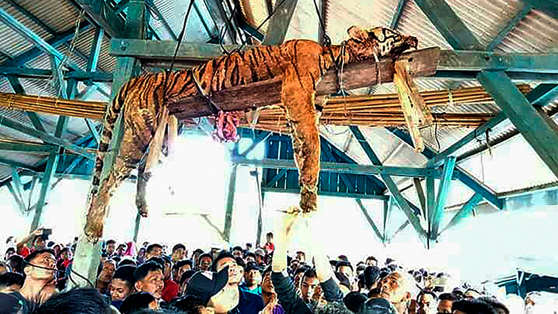 March 4, 2018: The carcass of an endangered Sumatran tiger is pictured hanging from the beams of a public gathering space in an Indonesian village.