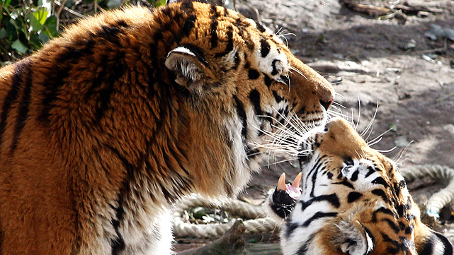 """March 8, 2012: Siberian tigers """"Altai,"""" left, and """"Hanya"""" in their enclosure in the Cologne Zoo. 'Altai' escaped the enclosure at Cologne Zoo in western Germany and killed a female keeper before being shot dead by the zoo's director, police said. The tiger managed to get from the enclosure to an adjacent storage building, where it attacked the 43-year-old keeper, said police spokesman Stefan Kirchner. """"It appears the gate wasn't properly shut,"""" Kirchner told The Associated Press. The zoo's director used a rifle to shoot the animal dead through the storage building's skylight before it could make its way to the visitor areas, he added. (AP)"""
