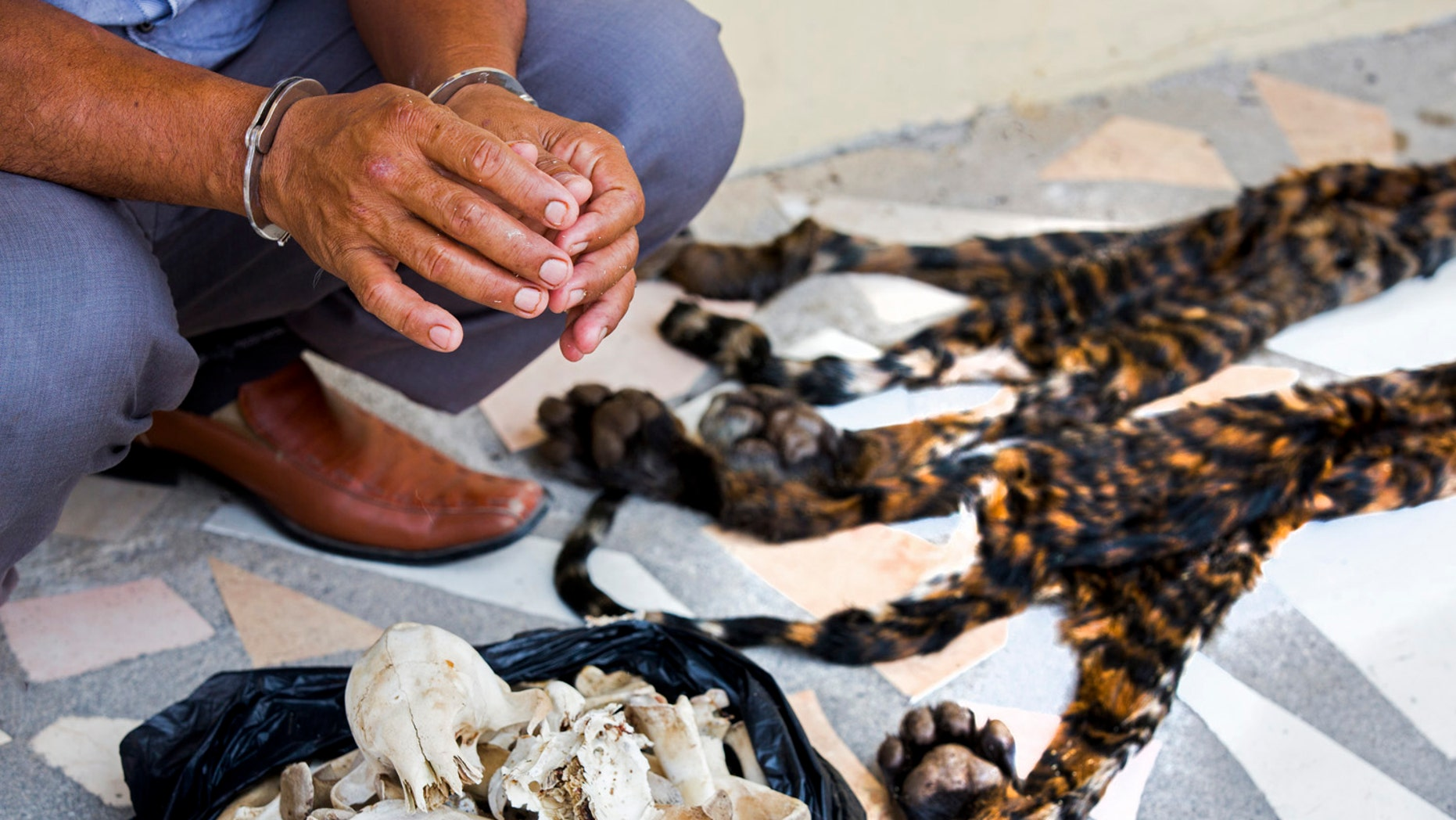 Hand-cuffed suspect next to skins and bones of two critically endangered Sumatran tiger cubs (Paul Hilton for WCS).