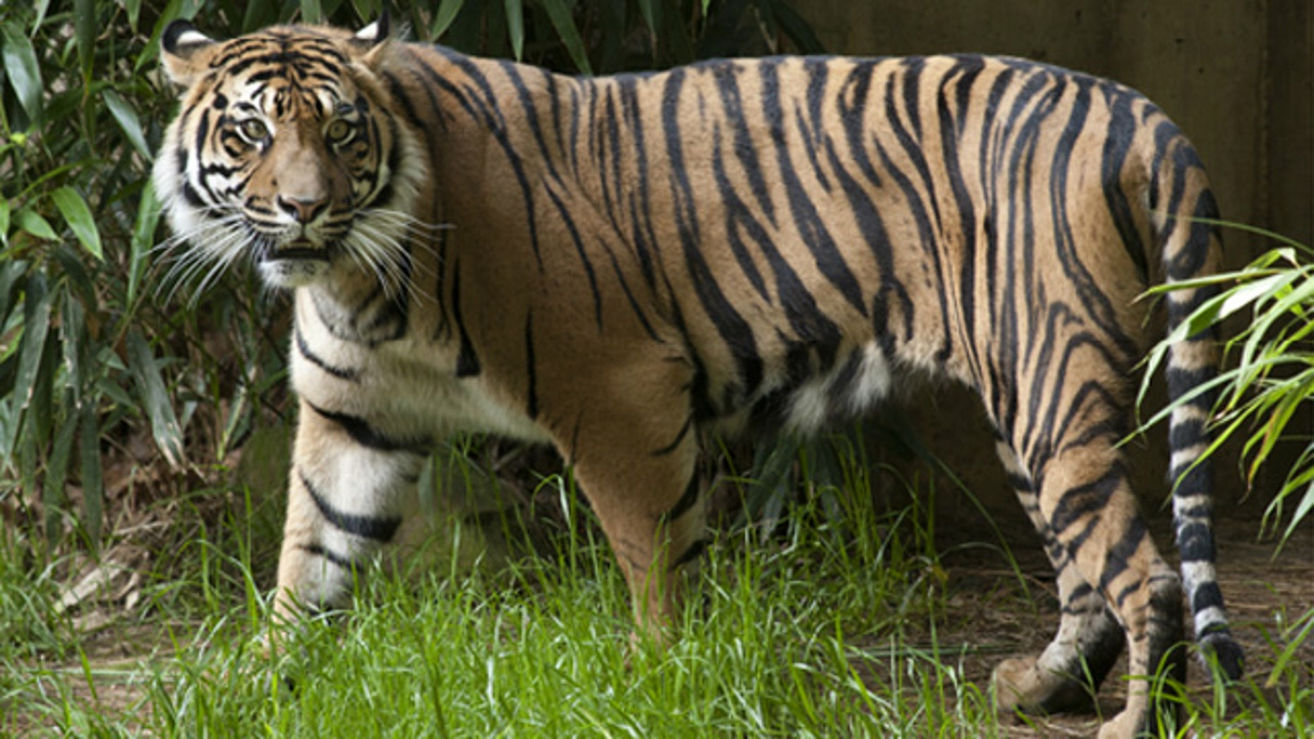 """A female Sumatran tiger named Damai (pictured) """"jumped"""" when the earth began rumbling."""