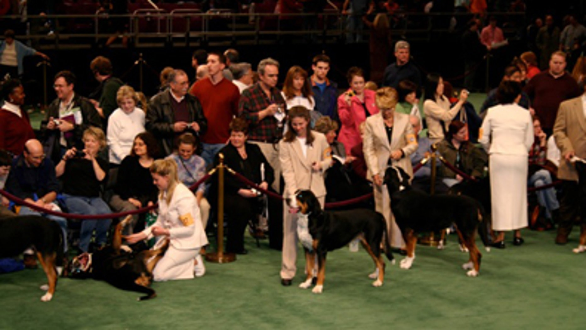 Feb. 14, 2005: The author and her Greater Swiss Mountain Dog at the Westminster Kennel Club Dog Show in New York City.