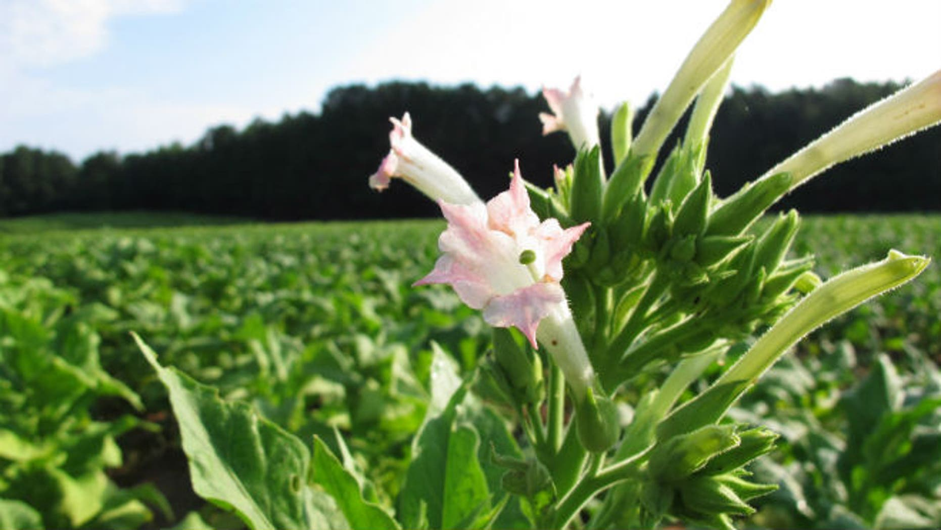 A tobacco flower waves in a dew-covered field outside Rolesville, N.C., on Wednesday, Aug. 13, 2014. (AP Photo/Allen G. Breed)