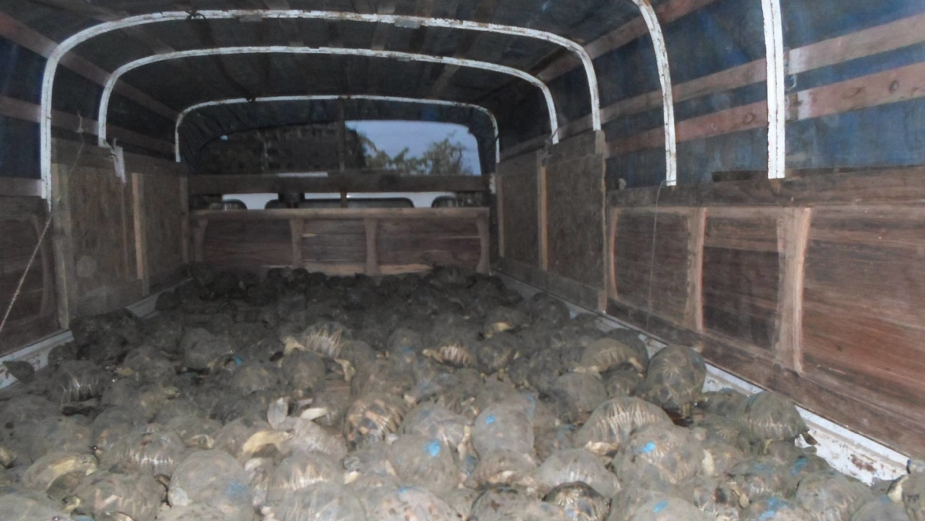 Madagascar officials discovered 10,000 endangered tortoises crammed in a house in Toliara in early April.