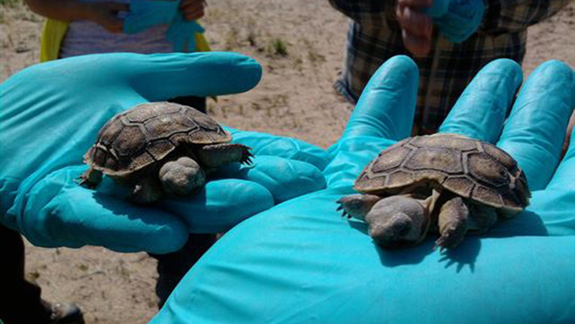 The tortoises are in the way of the Marines' planned expansion of a combat training grounds. (US Marine Corps)
