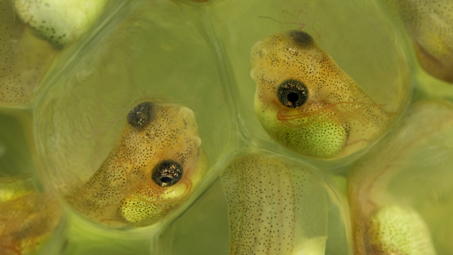Red-eyed tree frog embryos are capable of hatching prematurely if necessary. Otherwise, they continue to develop in safety, in their eggs.