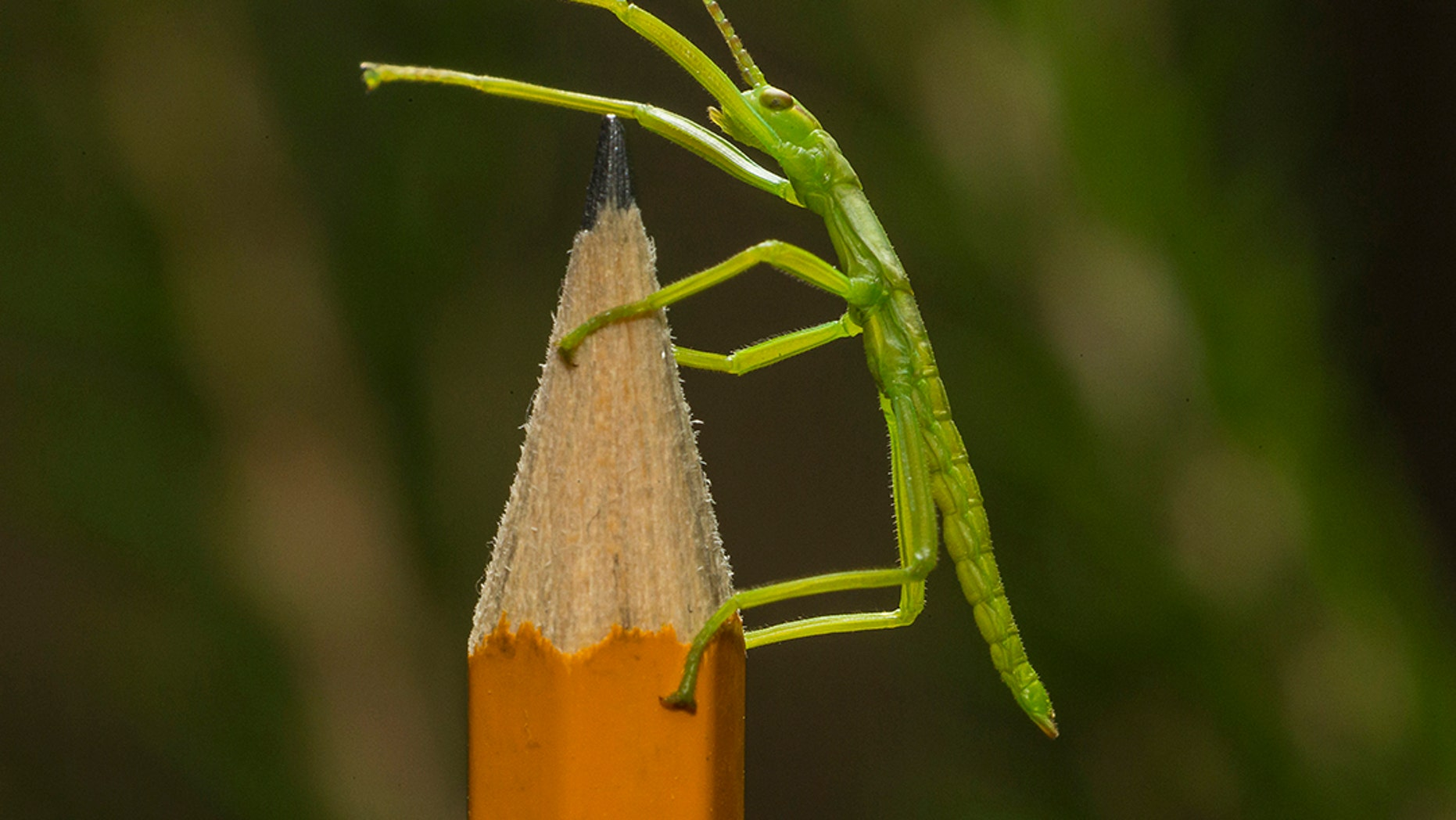 One of the newly-hatched tree lobster stick insects (Ken Bohn, San Diego Zoo).