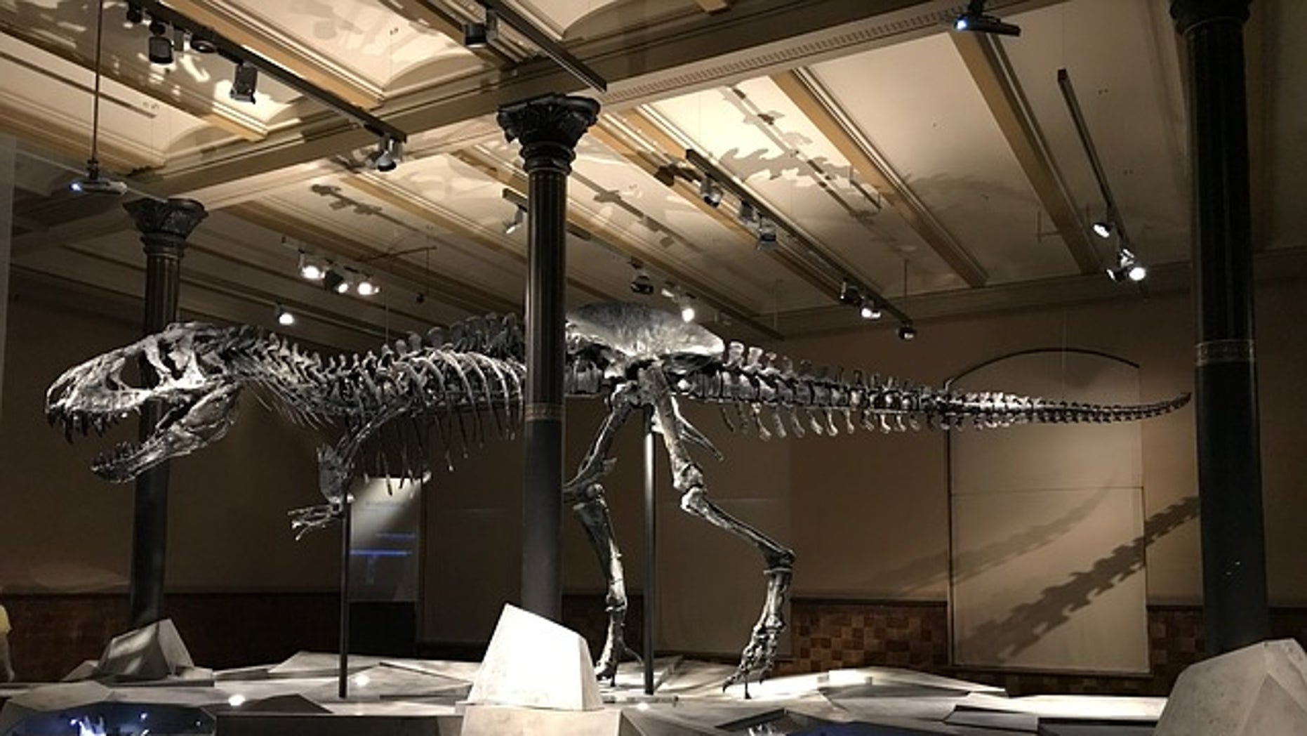 Fossil remains of a <em>Tyrannosaurus rex</em>, a dinosaur species that became extinct due to extreme climate conditions at the end of the Cretaceous period about 65.5 million years ago.