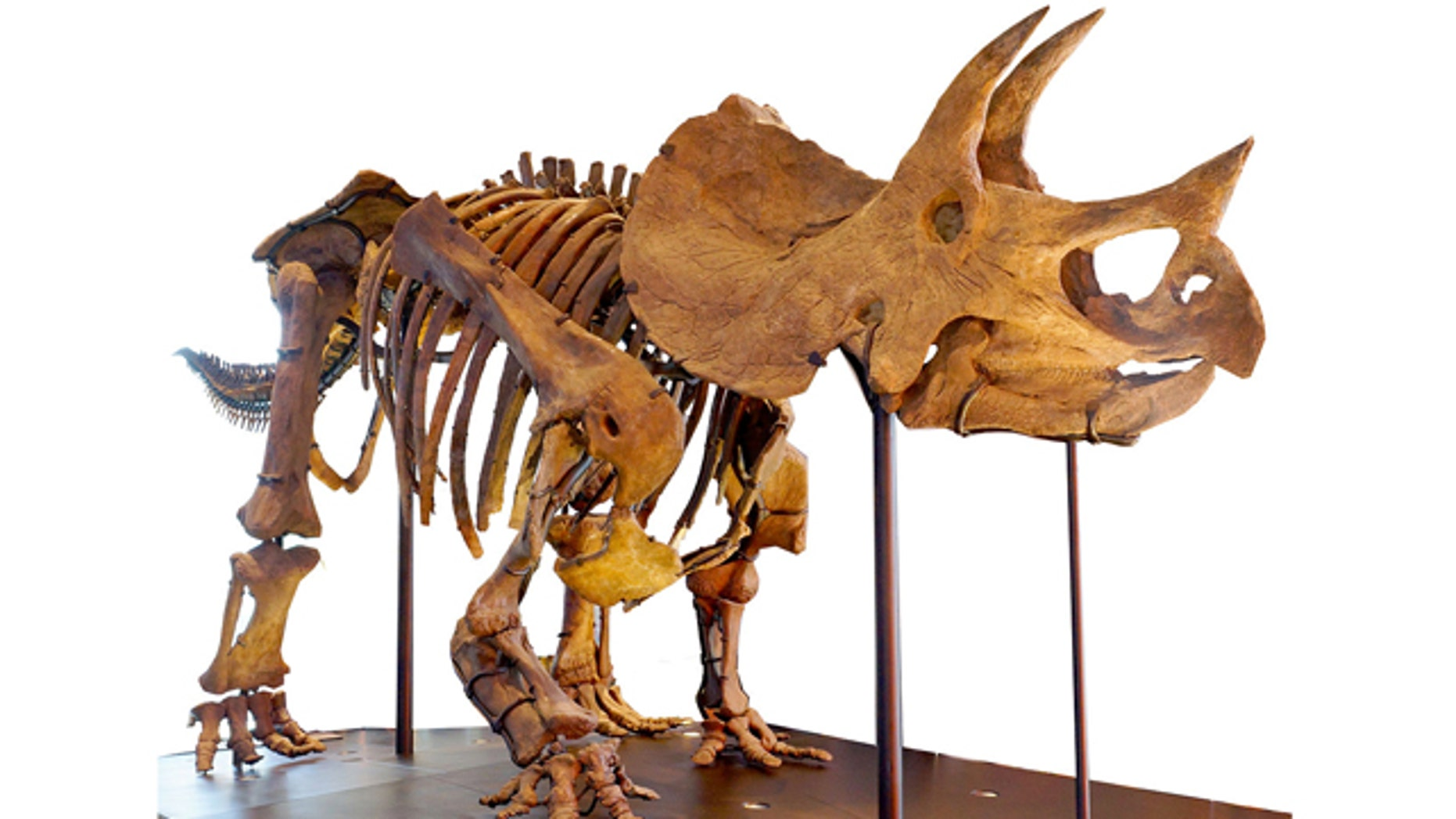 A Triceratops skeleton is pictured here at the Natural History Museum of Los Angeles County.