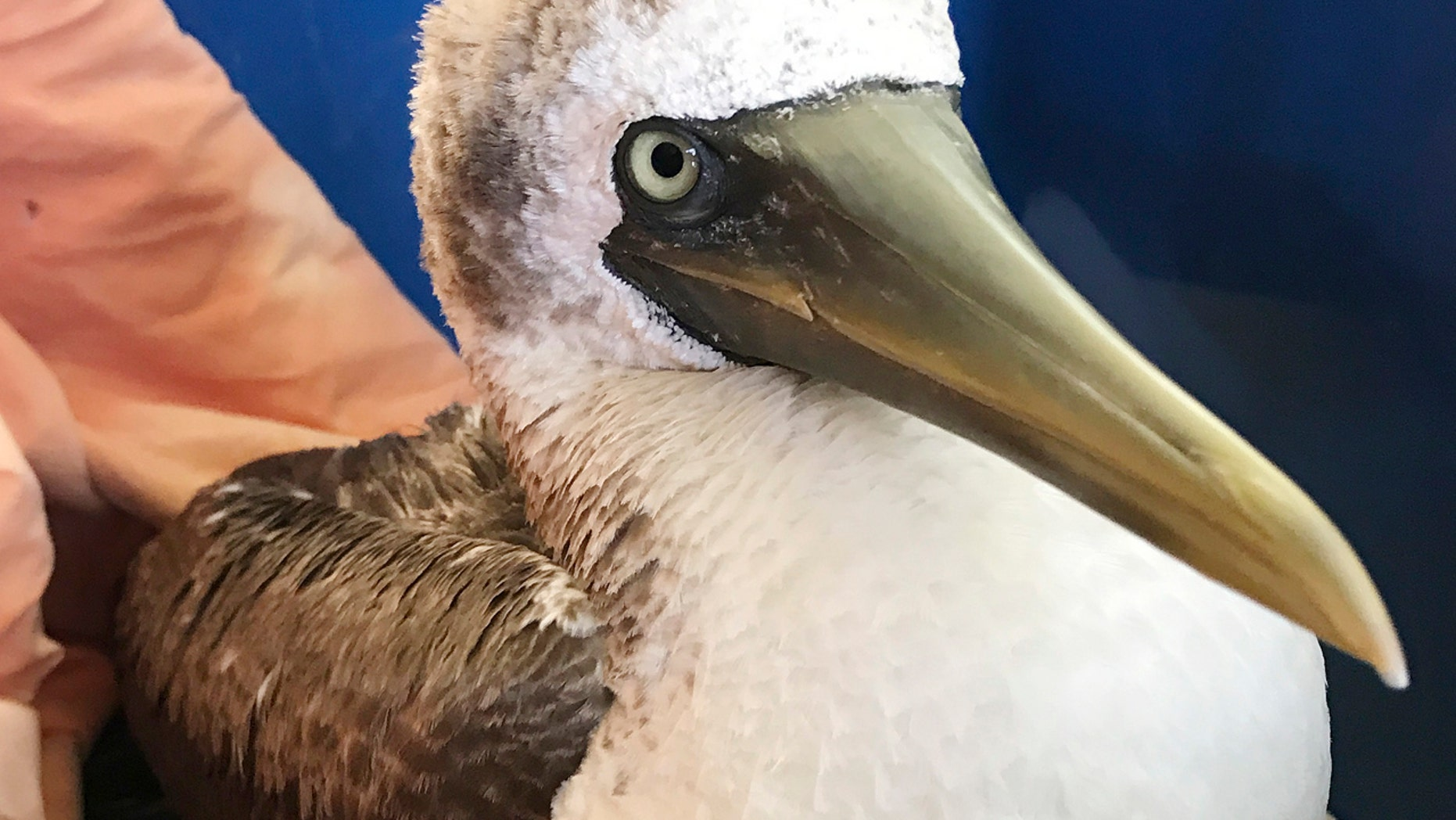 This Sept. 26, 2017, file photo, photo provided by Wild Care, Inc., shows a masked booby, a tropical seabird rescued from a Cape Cod beach, at the organization's wildlife rehabilitation facility in Eastham, Mass.